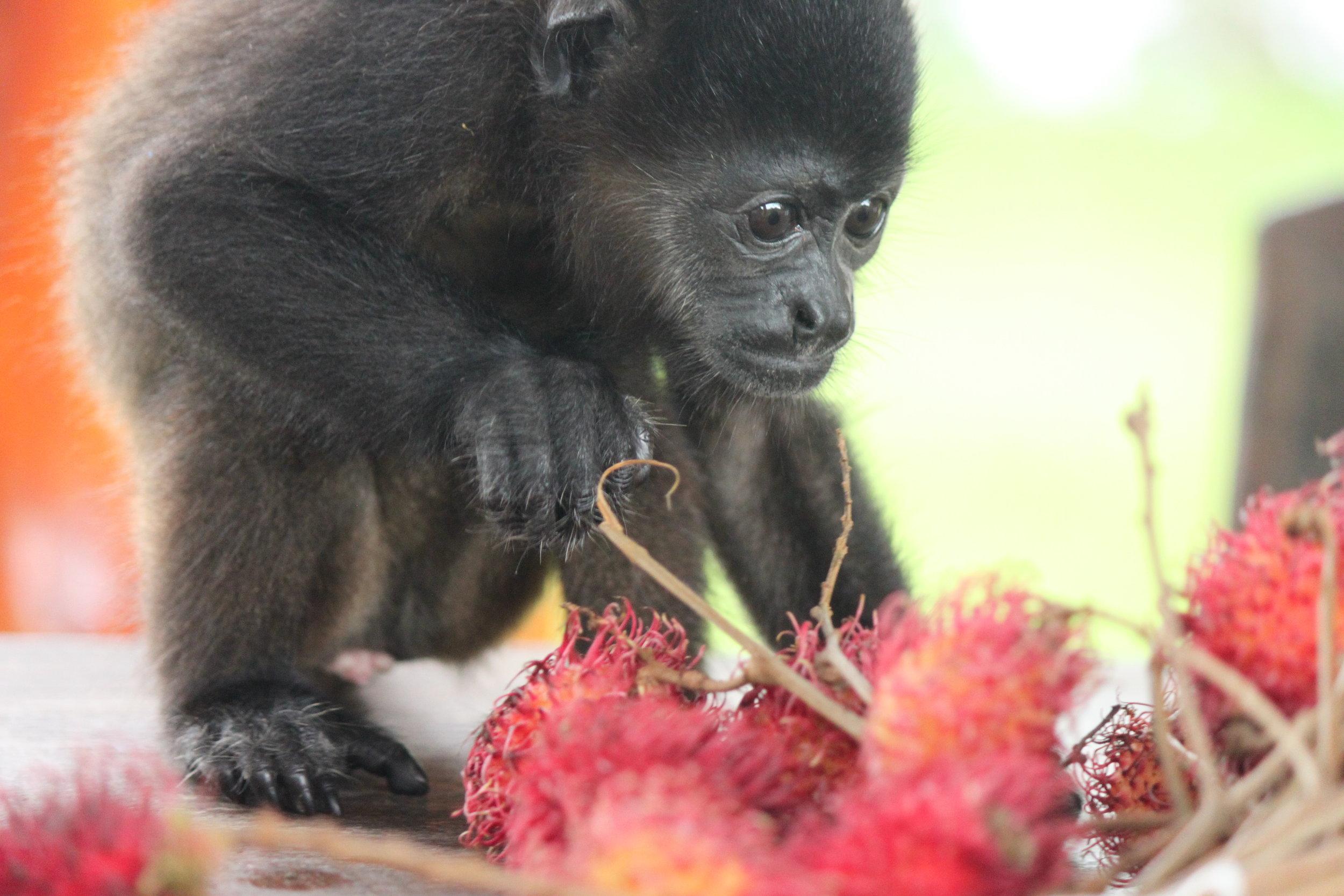 Infant Mantled Howler Monkey: Cheeto