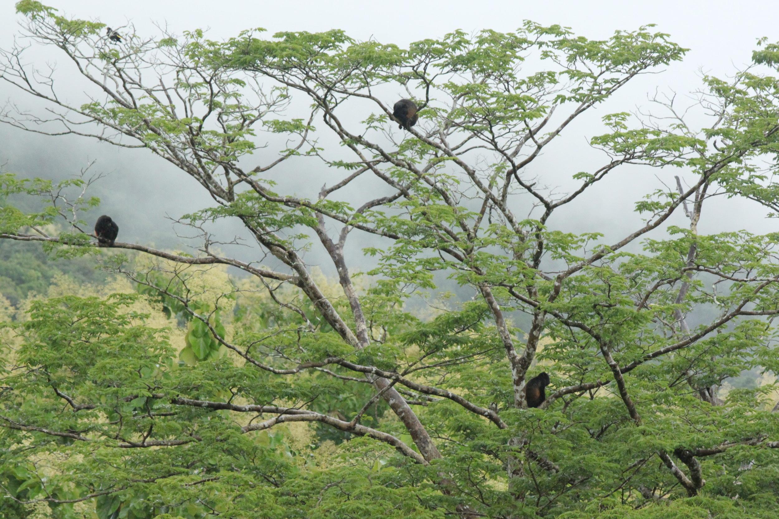 Wild Mantled Howler Monkeys