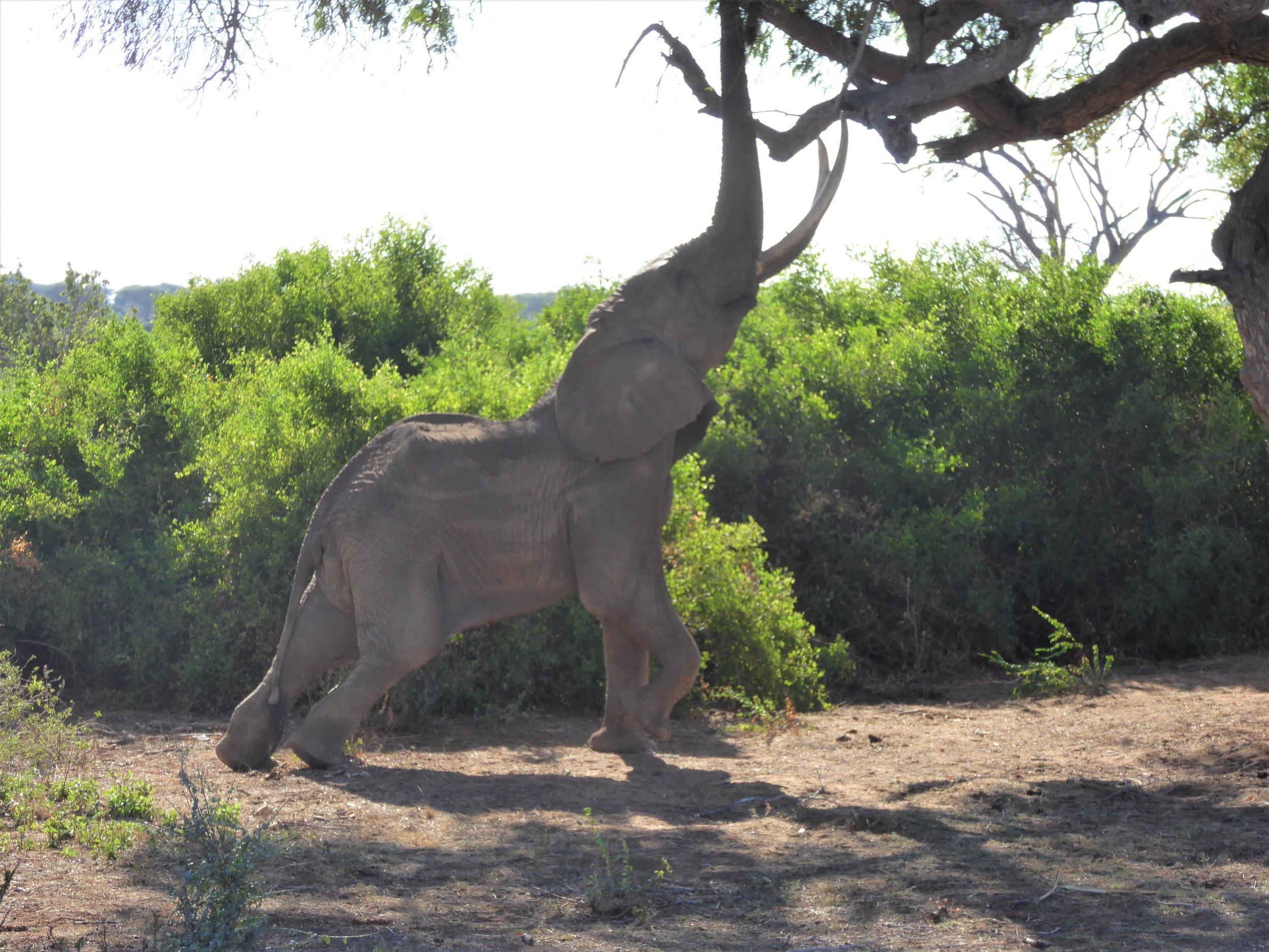 Male Elephant, Tsavo