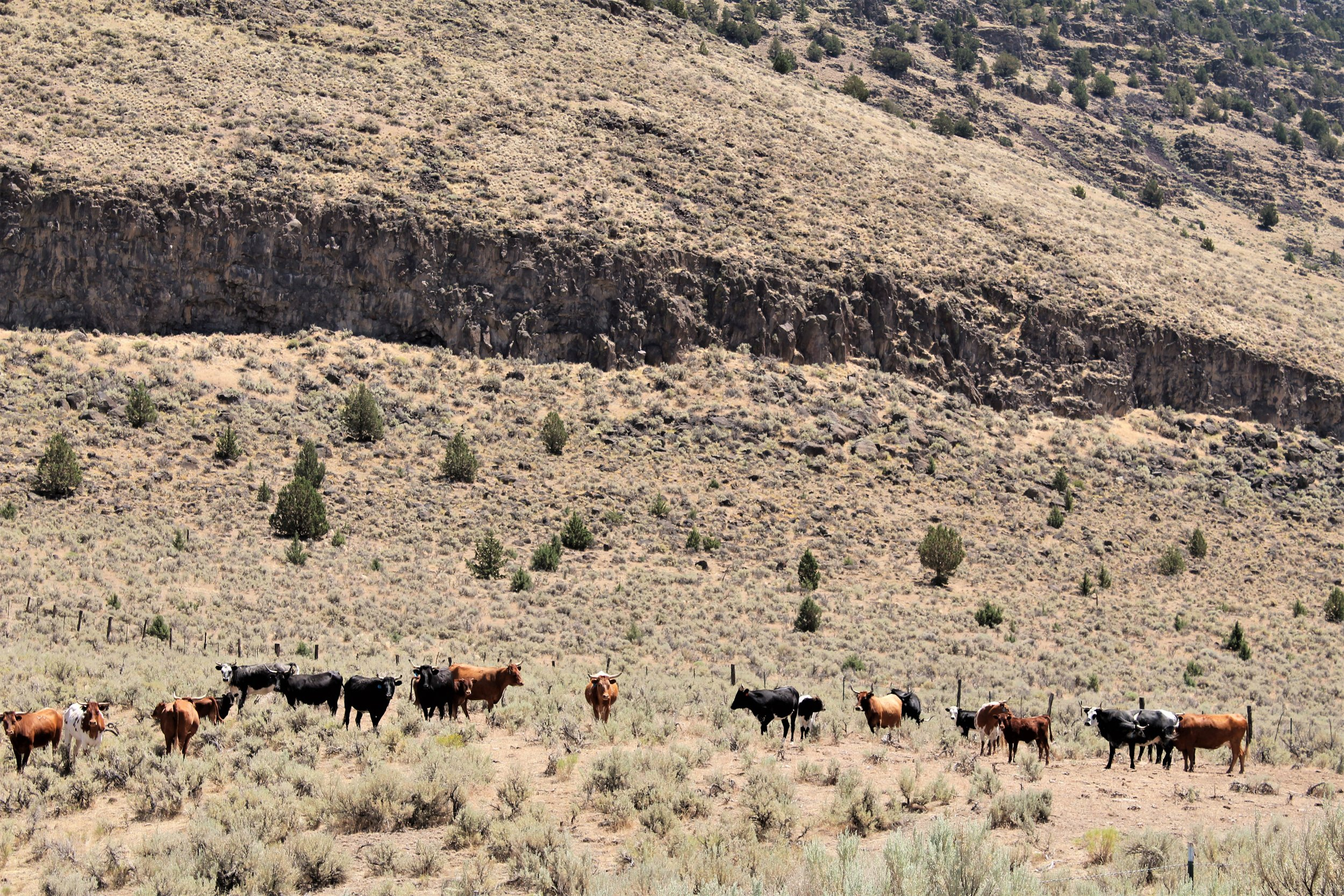 Harney County Cattle