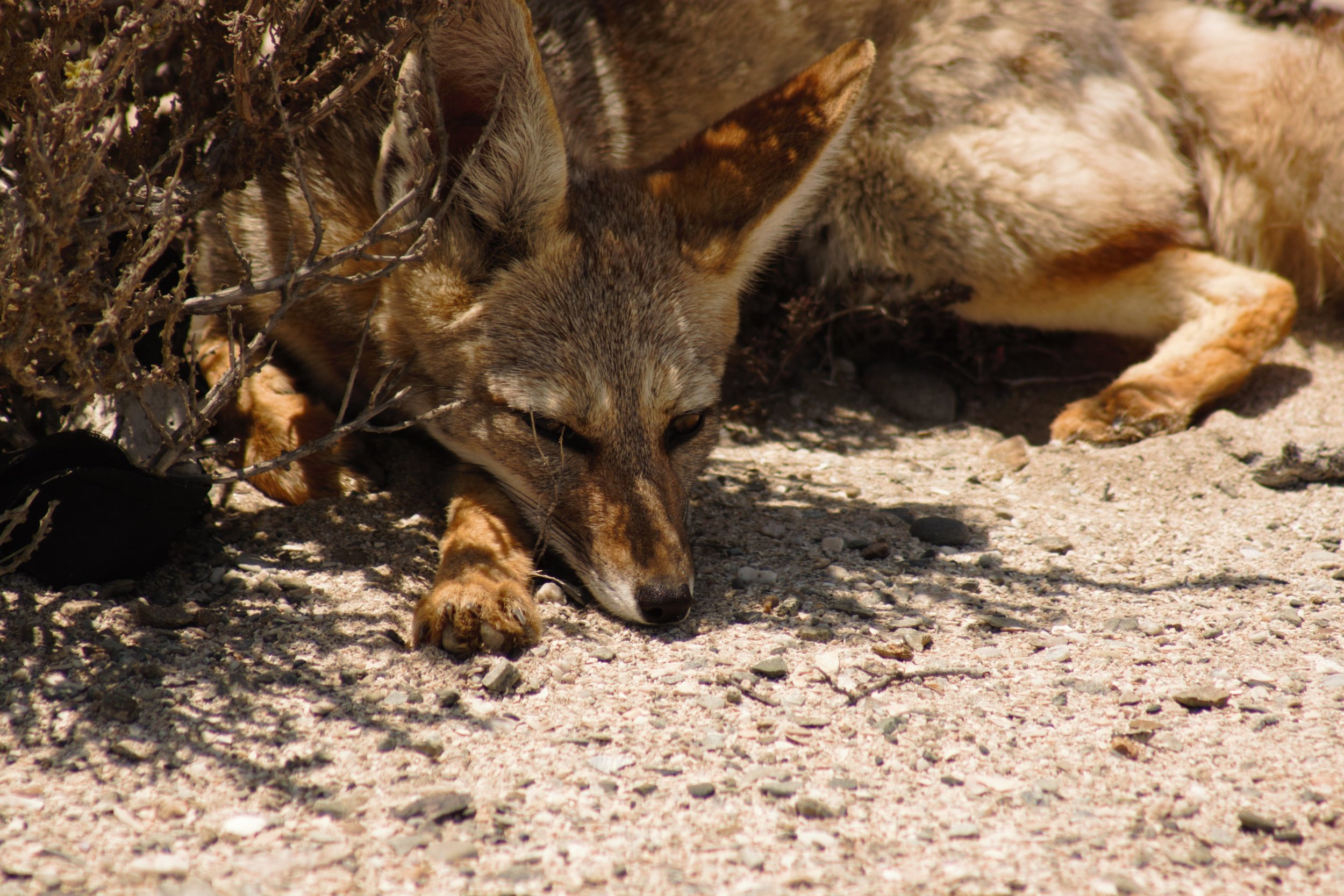 South American Gray Fox, Atacama Desert