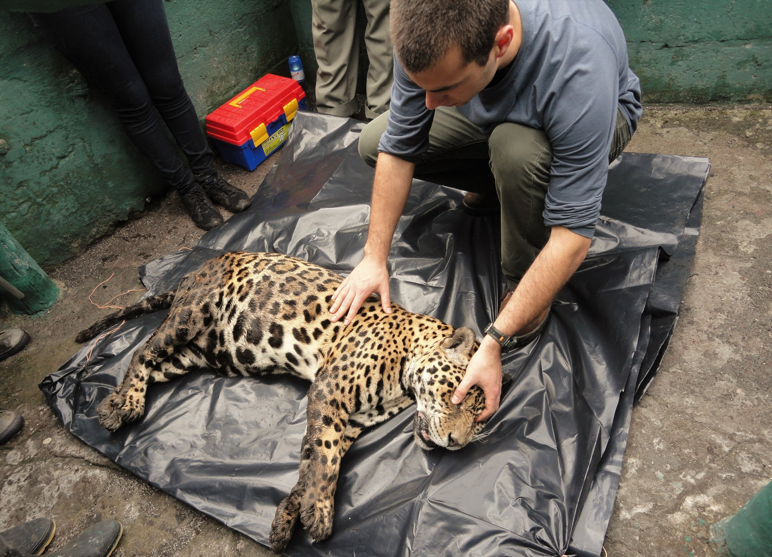 Veterinarian Procedure on a Jaguar in Baños de Agua Santa, Ecuador