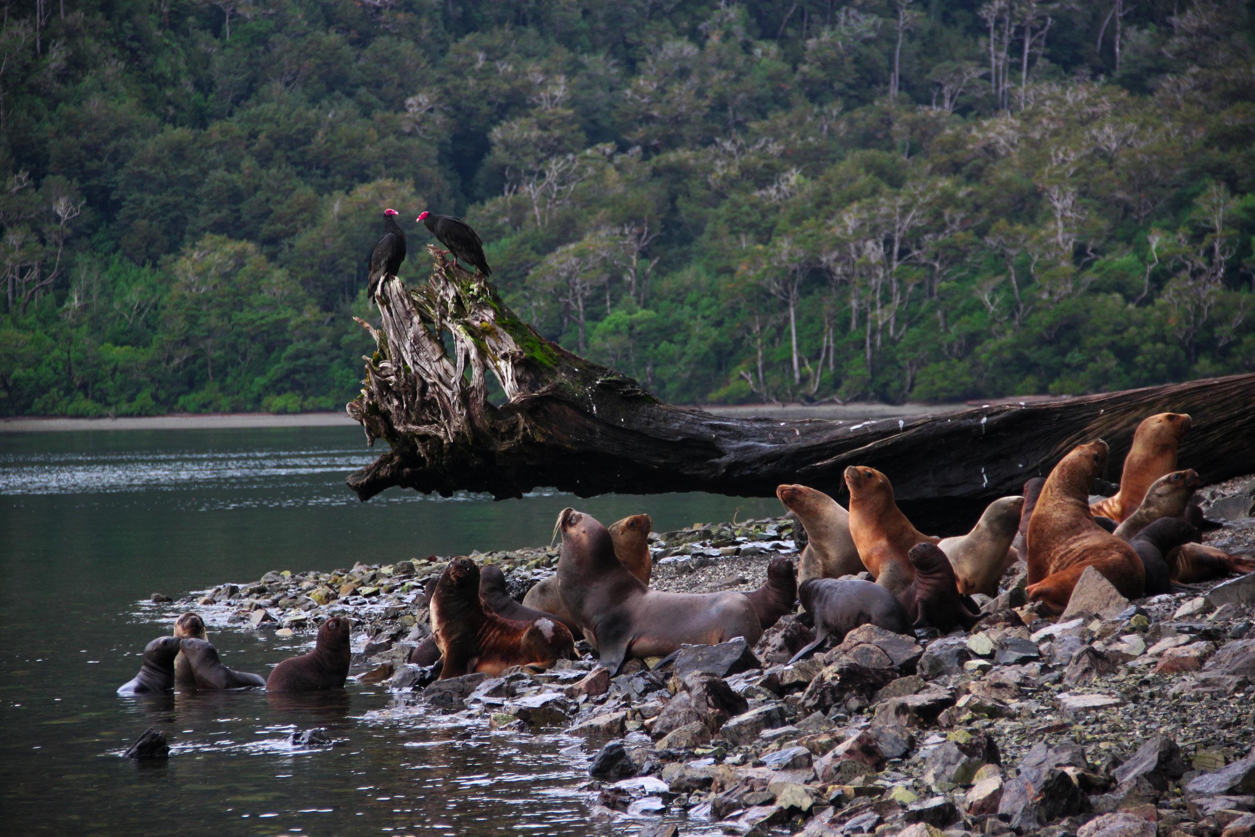 South American Sea Lions, Golfo de Penas, Patagonia
