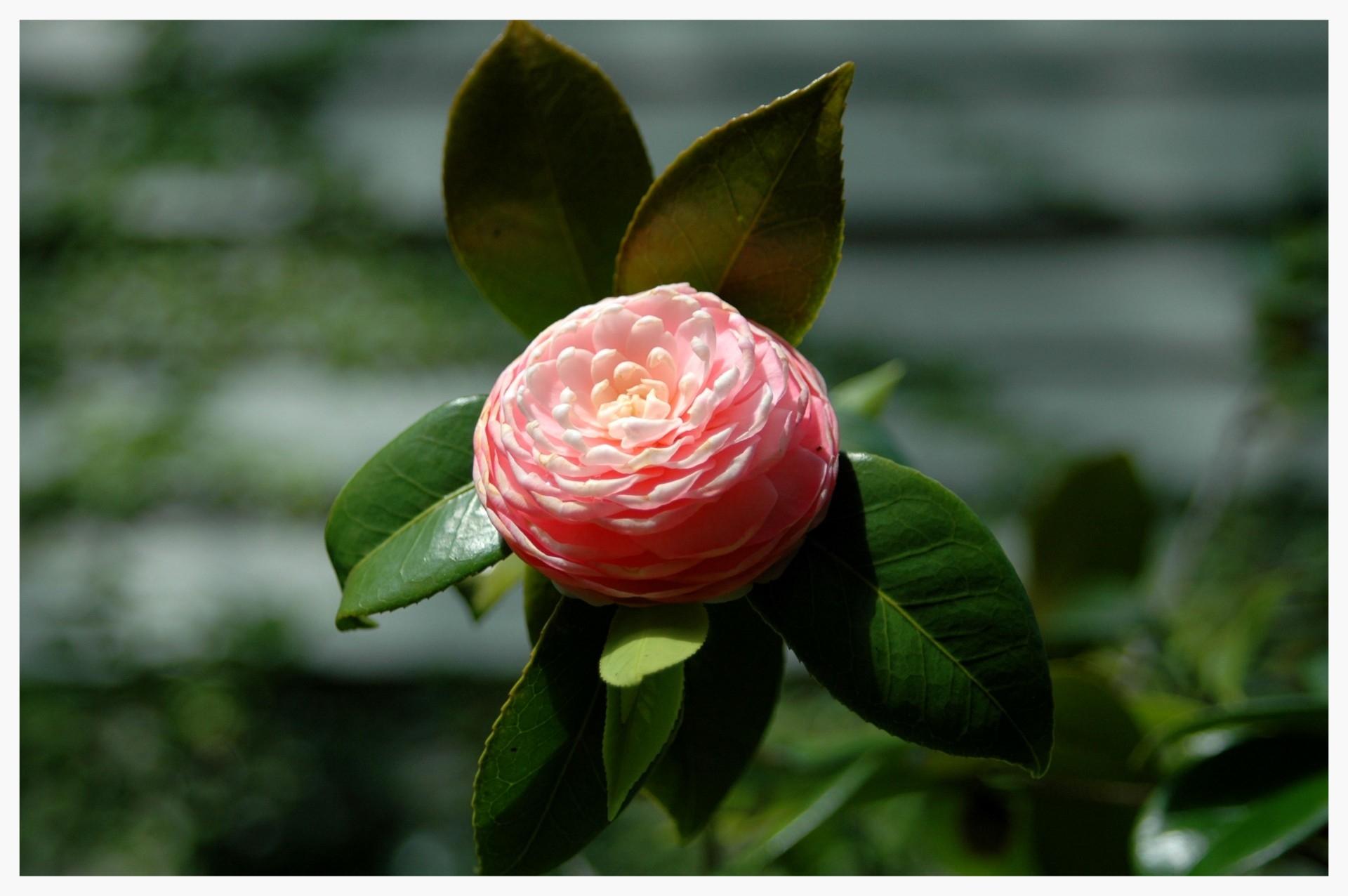 Camellia invades America, conquers Alabama (public domain photo)