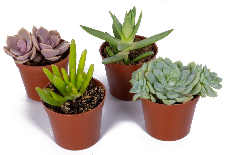 Real Live Succulents, Set of 4