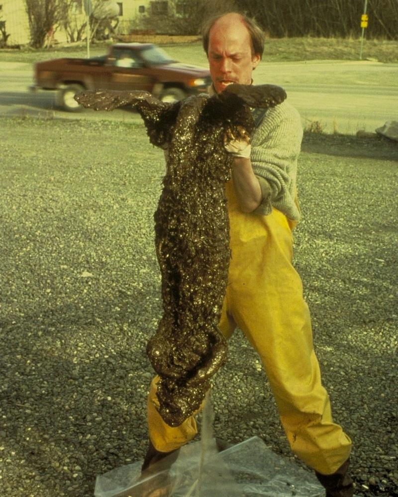 800px-Dead_otter_-_Valdez_spill.jpg