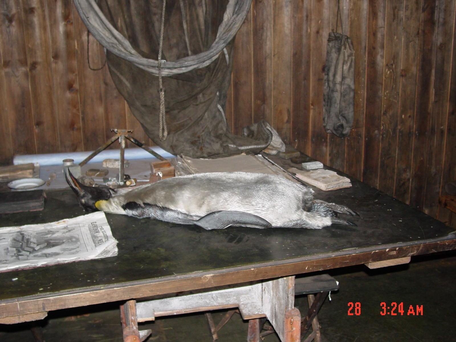 Scott's Hut, with penguin still ready for post-mortem study.