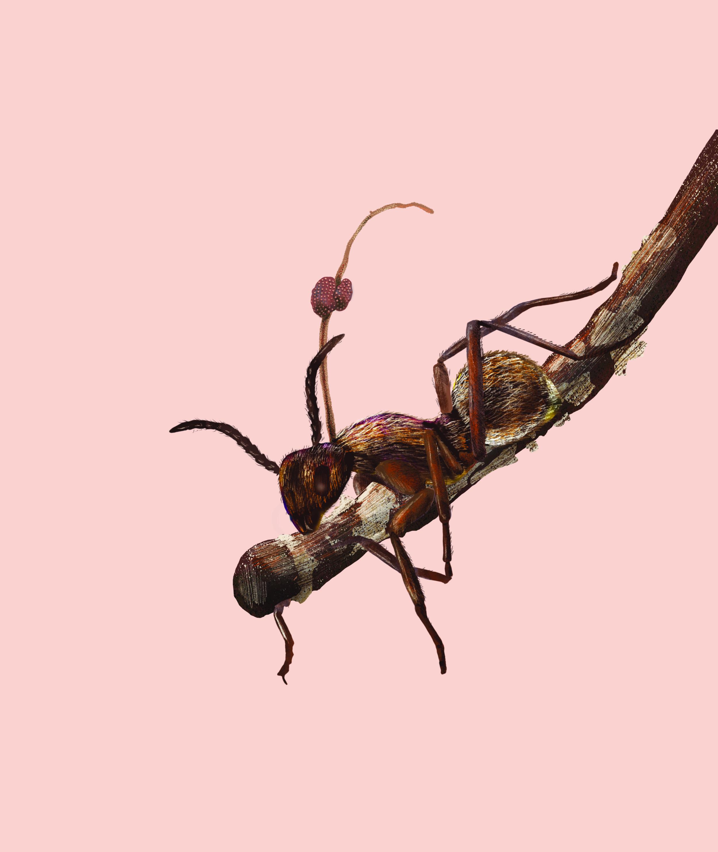 ant_cordycep.jpg