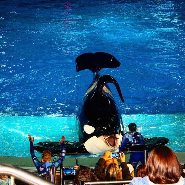 Fun at the Orca show at Sea World! #fun #family #instatravel #instagood #holiday #travel #theorlandotravelguide #seaworldorlando #seaworld #amusementparks