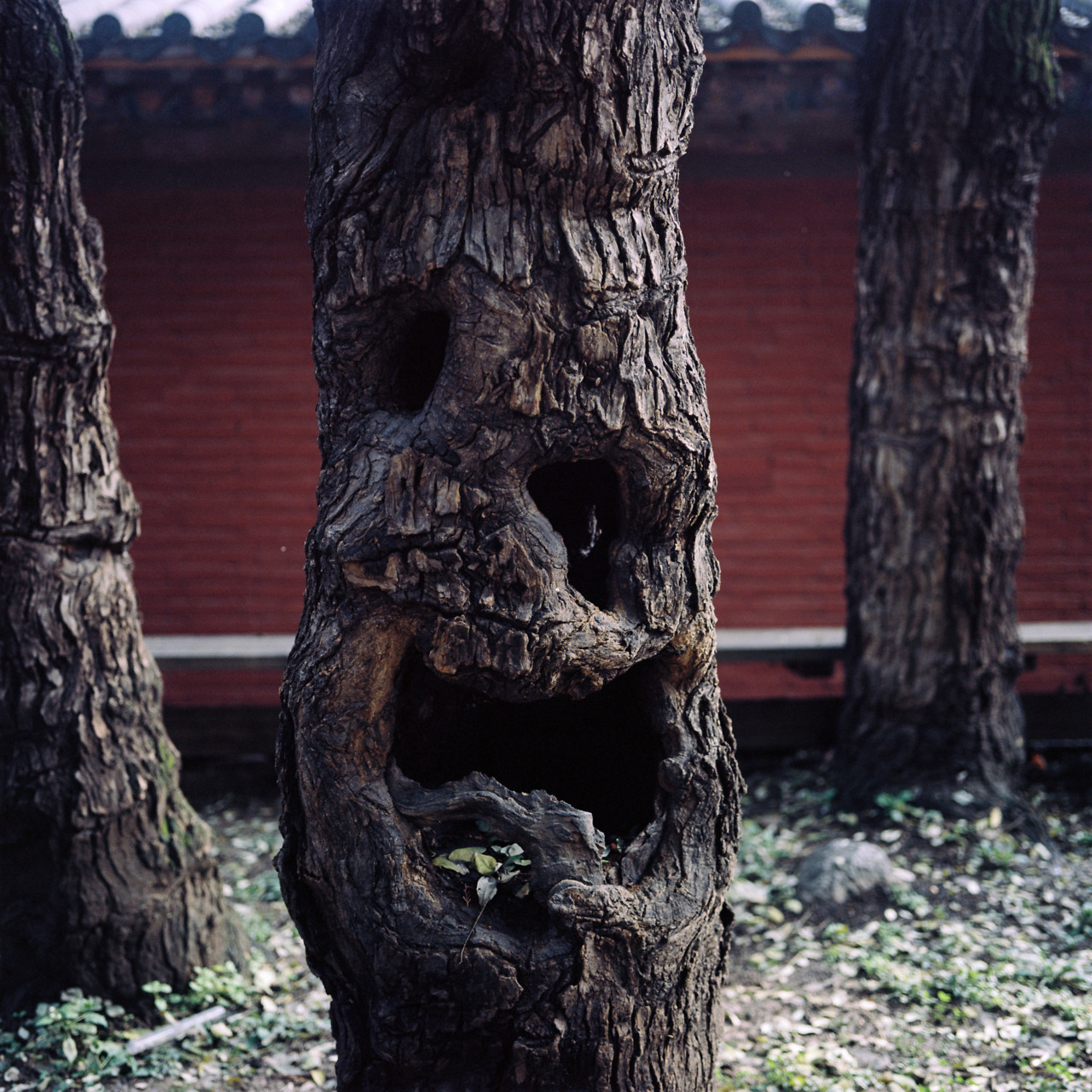 Just wrapped up the Shigeto tour and if I stop procrastinating will have a video up shortly….in the meantime here is a photo of my favorite tree at the Shaolin Temple, shot while on tour with the Lionheart Brothers.