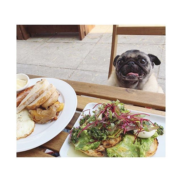 Who's ready for Sunday brunch?!? We know @msbeanthepug is!!