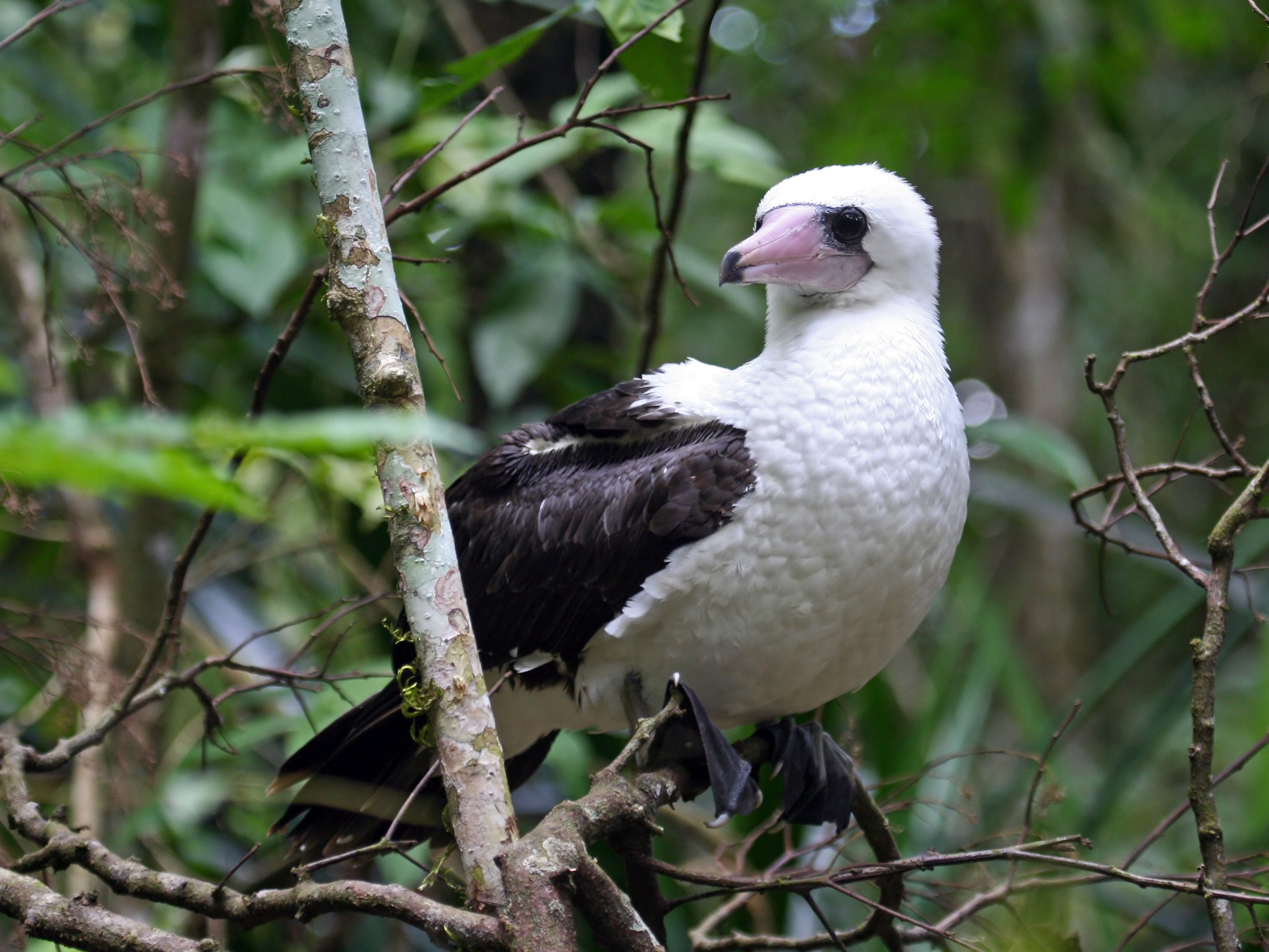 - The critically endangered Abbott's Booby is one of the most evolutionary distinct birds and the rarest of all boobies. It has disappeared from all its other breeding sites and now calls Christmas Island its last chance of hope.Abbott's Bobby are the only booby species to nest high in trees and therefore require an intact canopy to raise their young. Unfortunately, the rainforests these birds rely on are under threat from an exploratory mining lease currently under consideration by the Federal Government.These demands are of high commercial interest as the demand for palm oil, and therefore, fertilizer grows.