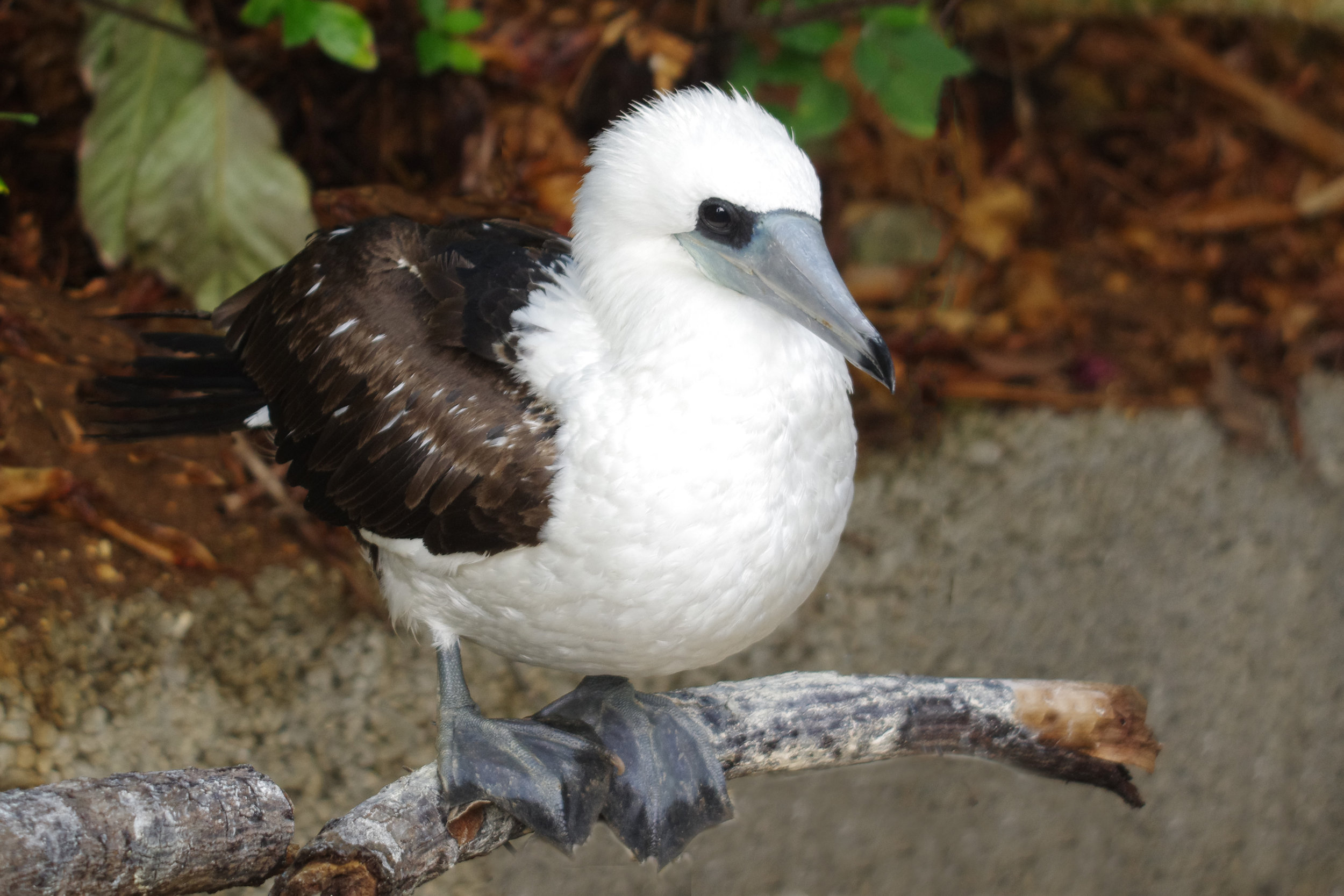 - BirdLife is calling on the Australian Government to commit to an end of mining on Christmas Island and to continue to improve the control of invasive species. There is also an urgent need for further research on threatened taxa to facilitate direct conservation actions.