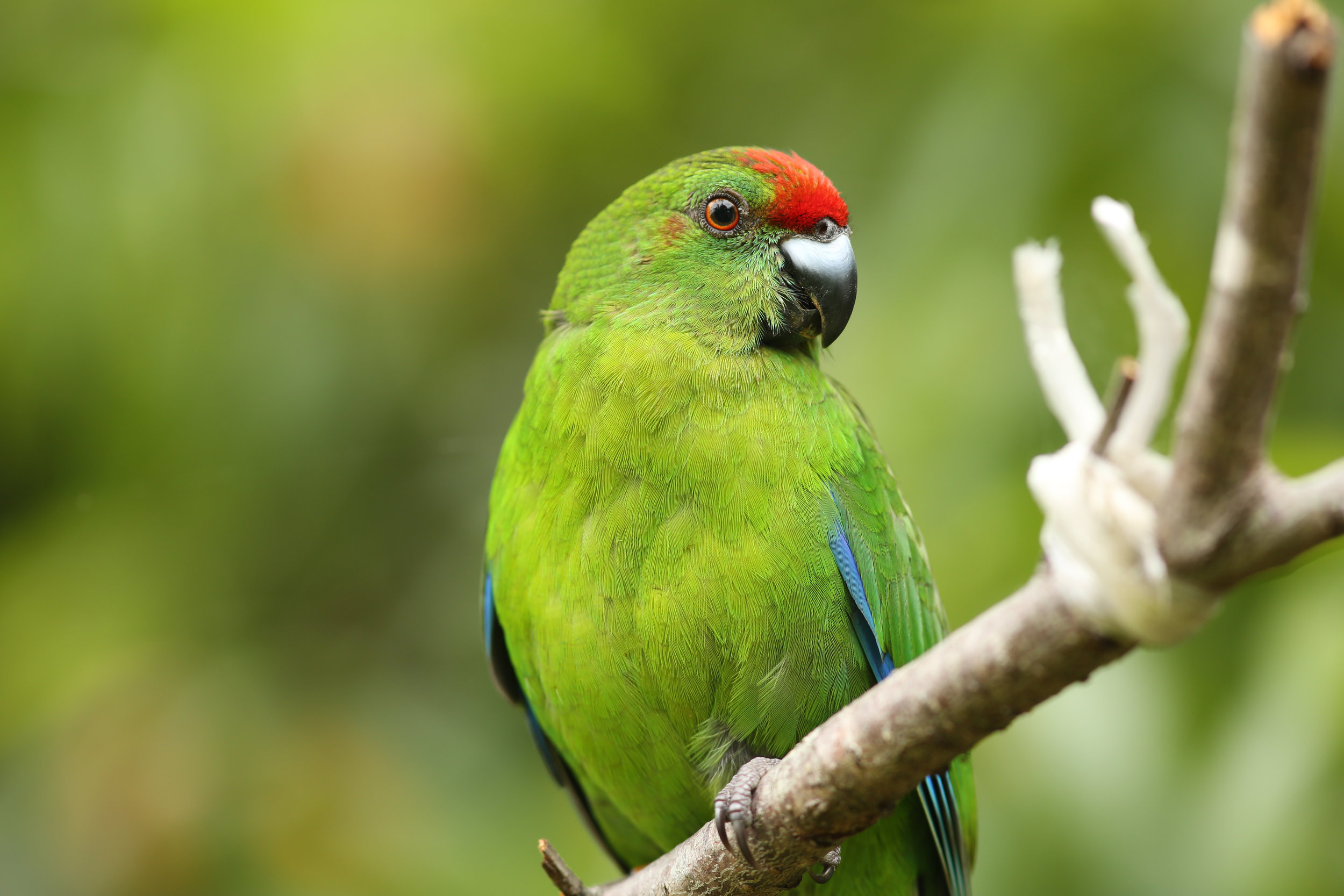 - Urgent action was required, with an installation of 75 predator-resistant nest sites at Phillip Island which lead to a relocation of 44 fledglings. Establishing a second population of green parrots will ensure the bird's long-term survival.The long-term future of the Norfolk Island Green Parrot depends on ongoing support for a recovery project.Birdlife Australia is calling on the Australian Government to implement priority actions - monitoring and management, to recover the Critically Endangered Norfolk Island Green Parrot.