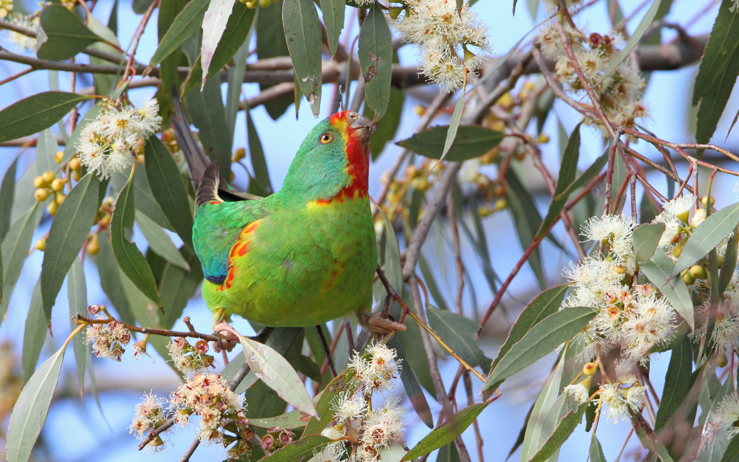 - Unfortunately, Bruny Island is threatened by ongoing deforestation. The destruction of habitat by forestry activities is documented in the National Recovery Plan for the species as the main threat to Swift Parrot survival.Nest predation by introduced Sugar Gliders is an issue that many Swift Parrots are facing and is worse in areas where deforestation is severe. However, Bruny Island is Sugar Glider free and reducing the rate of deforestation on the island could ensure the future existence of the Swift Parrot.An agreement between the Tasmanian and Commonwealth Governments, known as the Regional Forest Agreement (RFA), exempts the Swift Parrot from the Commonwealth's EPBC Act, which is intended to protect nationally Endangered species. This allows the Tasmanian Government to continue logging Swift Parrot breeding habitat. The Tasmanian Government is also planning to accelerate deforestation on the renewal of the RFA in November 2017.