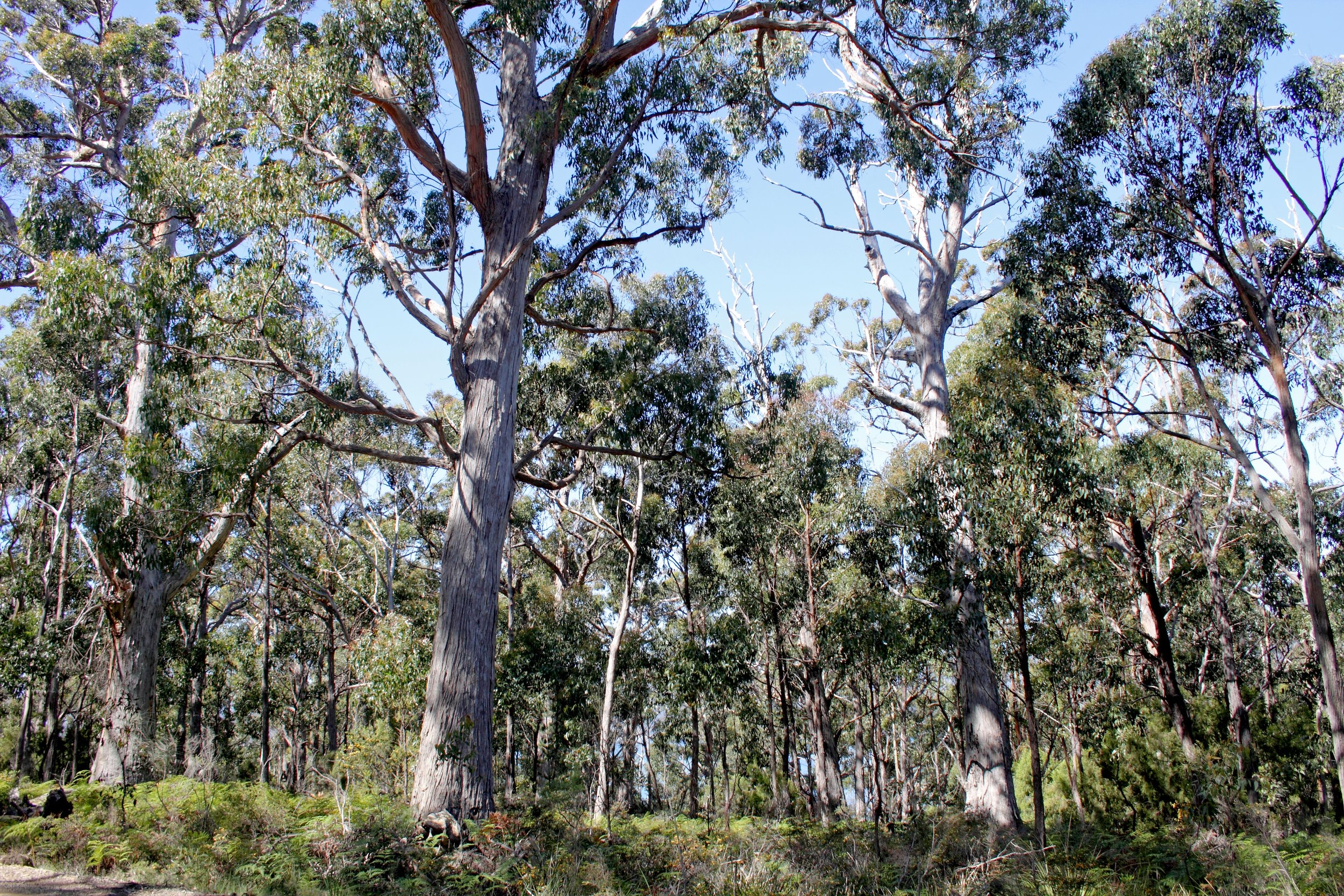 - BirdLife Australia is calling on the Australian Government to terminate the Tasmanian Regional Forest Agreement that is hastening the extinction of the Endangered Swift Parrot and to immediately stop logging Swift Parrot breeding habitat.We are also asking the Tasmanian Government to permanently protect Swift Parrot habitat on Bruny Island and mature forests across the South-east Tasmania KBA.