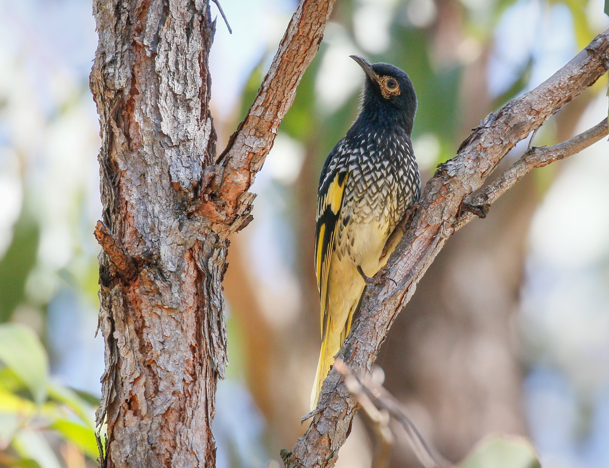 - BirdLife Australia is calling on the NSW and Australian Governments, and Cessnock City Council to permanently protect the important breeding habitat of the Critically Endangered Regent Honeyeater from imminent destruction by the development of the Hunter Economic Zone.