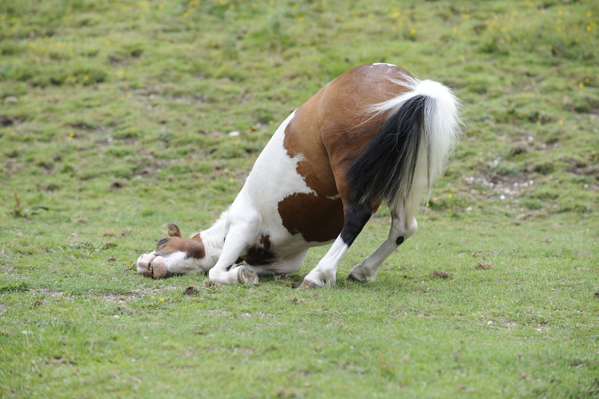 While there are many symptoms, signs of severe colic can include rolling