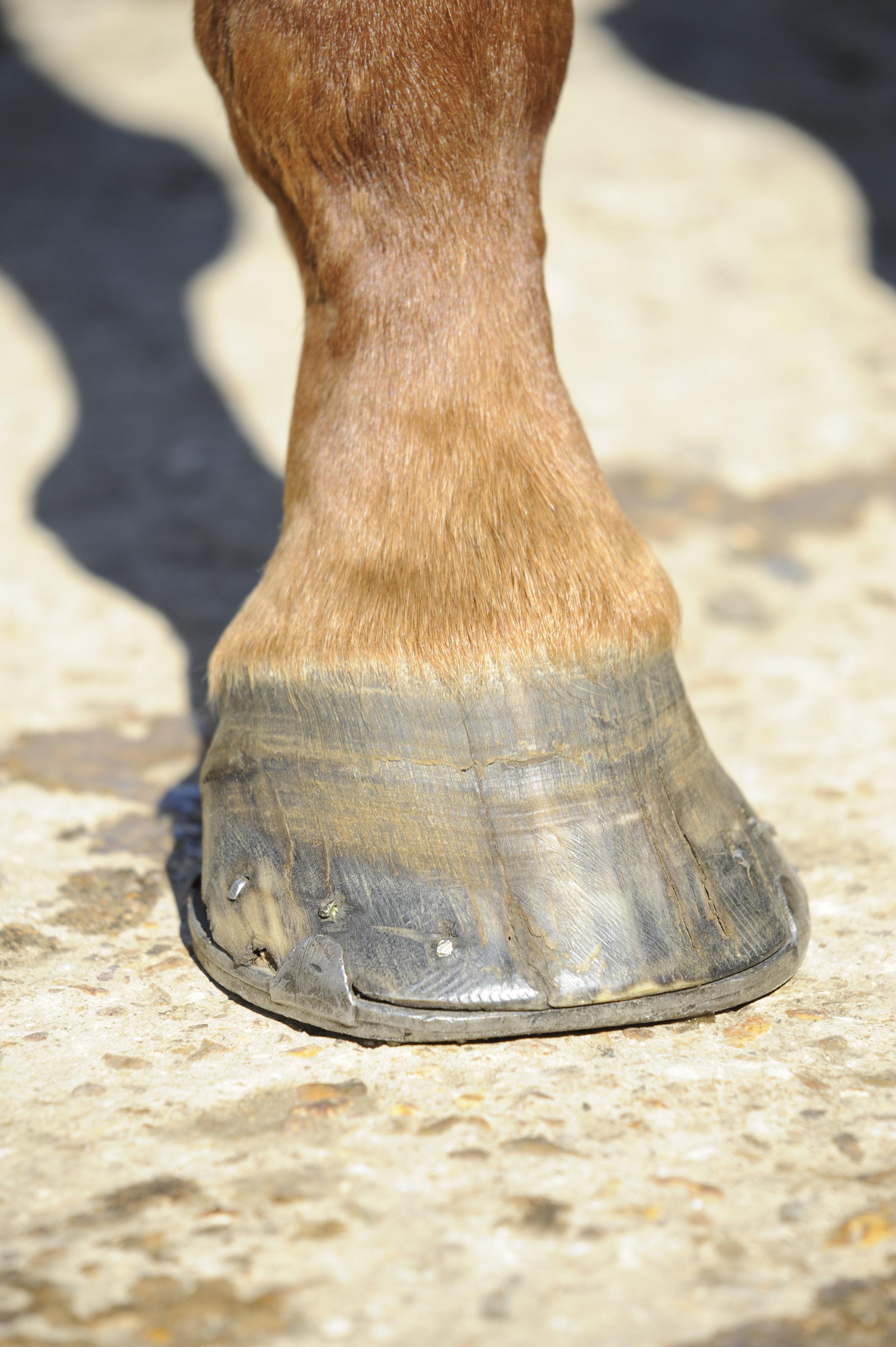 cracked hoof