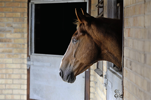 Horses who fret when left alone could be suffering from separation anxiety