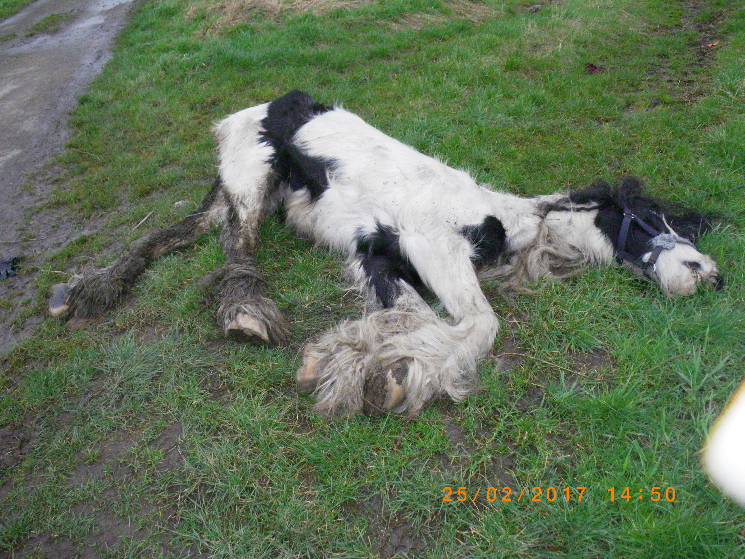 The horse had been tied to a nearby fence (Pic: RSPCA)