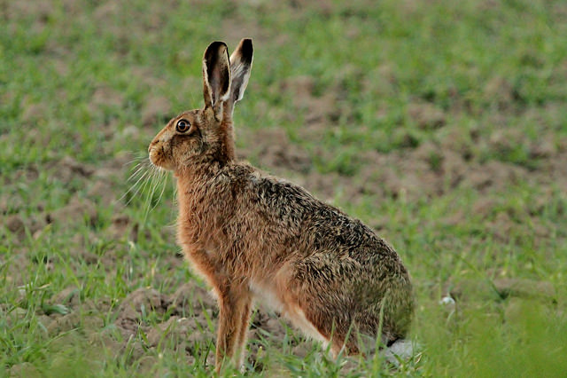 Hares are great to see in spring time (Pic: Jo Garrett ( Flickr - License )