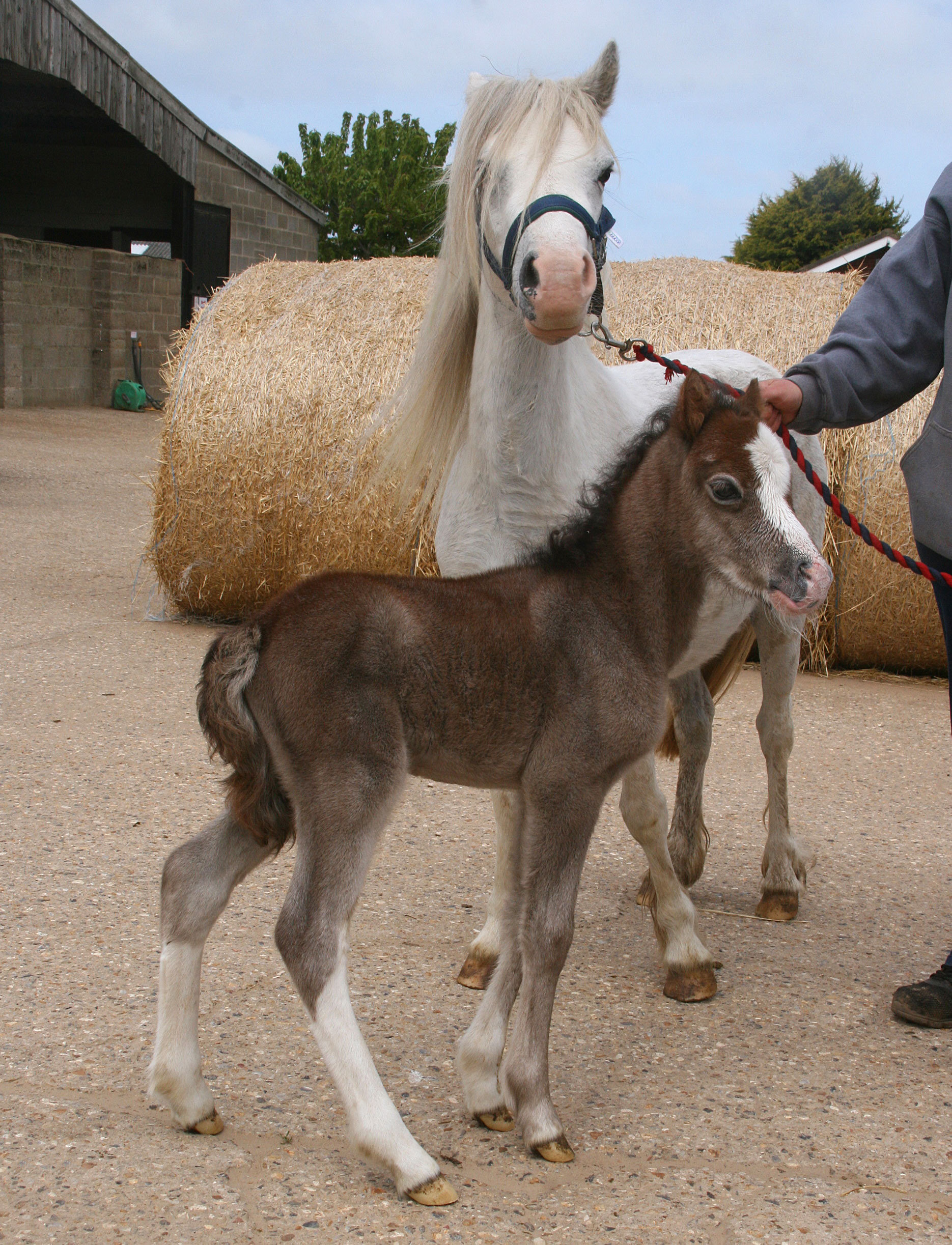 Mum, Dilly, and foal, Dessie, are currently at Cambridge Veterinary Hospital