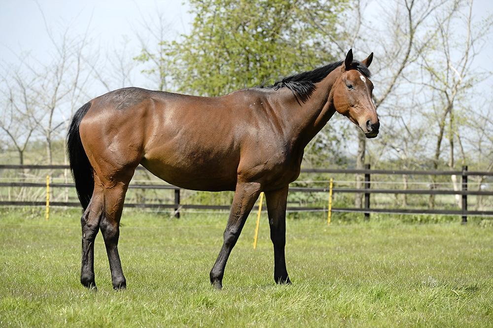 Thorougbred horse