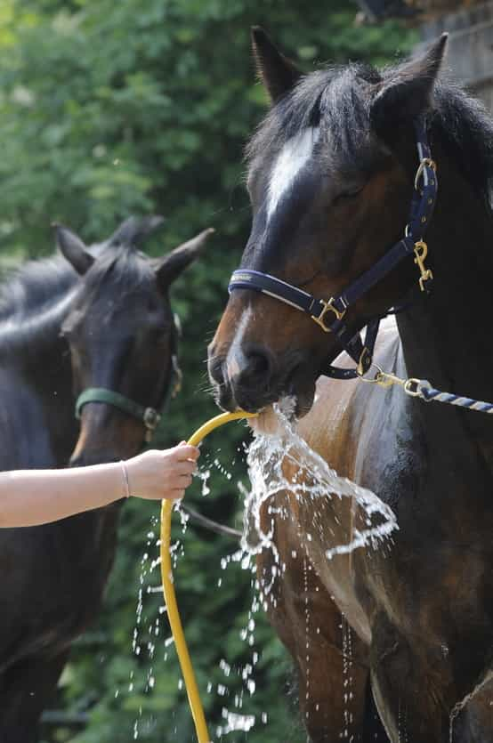 horse-drinking-from-hose