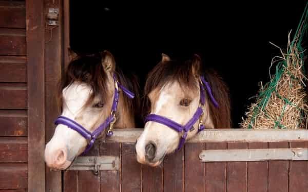 dun-ponies-in-stable.jpg
