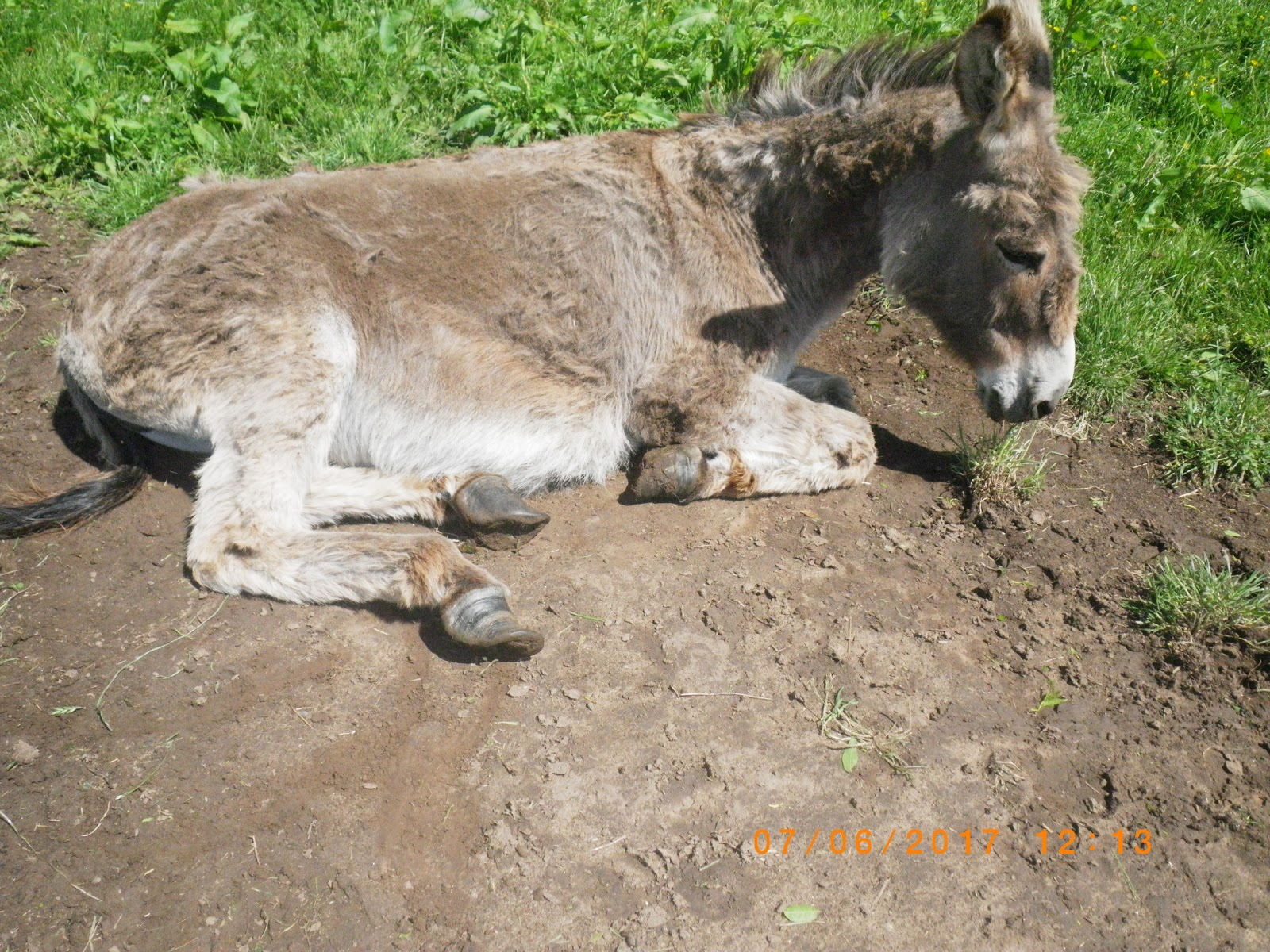 The donkeys struggled to walk with their hooves