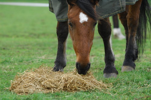horse+eating+hay.jpeg