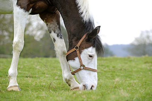 Strip grazing can limit your horse's access to grass