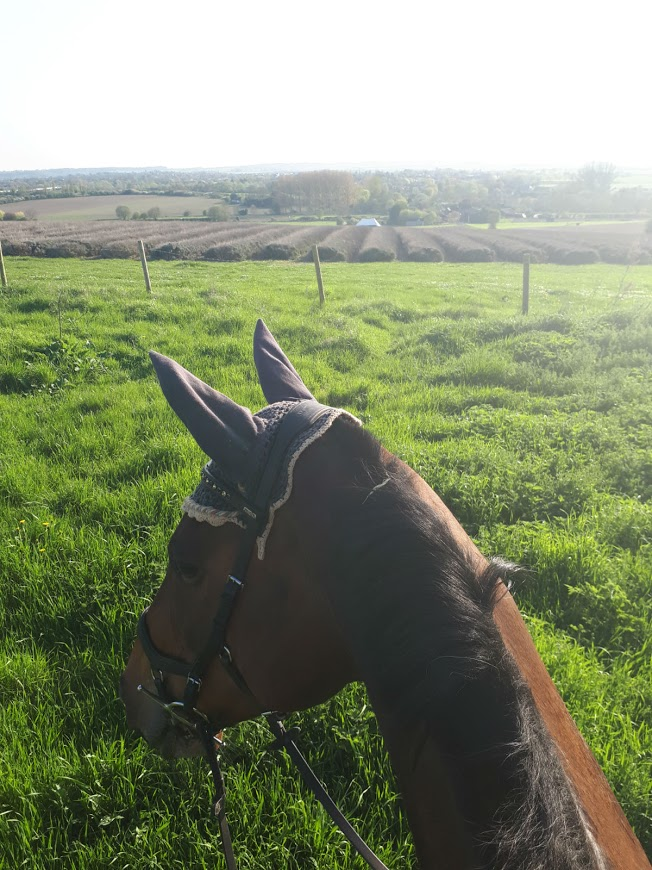 Socks and I enjoying a beautiful sunny hack around the lavender fields local to us - does it get any better?