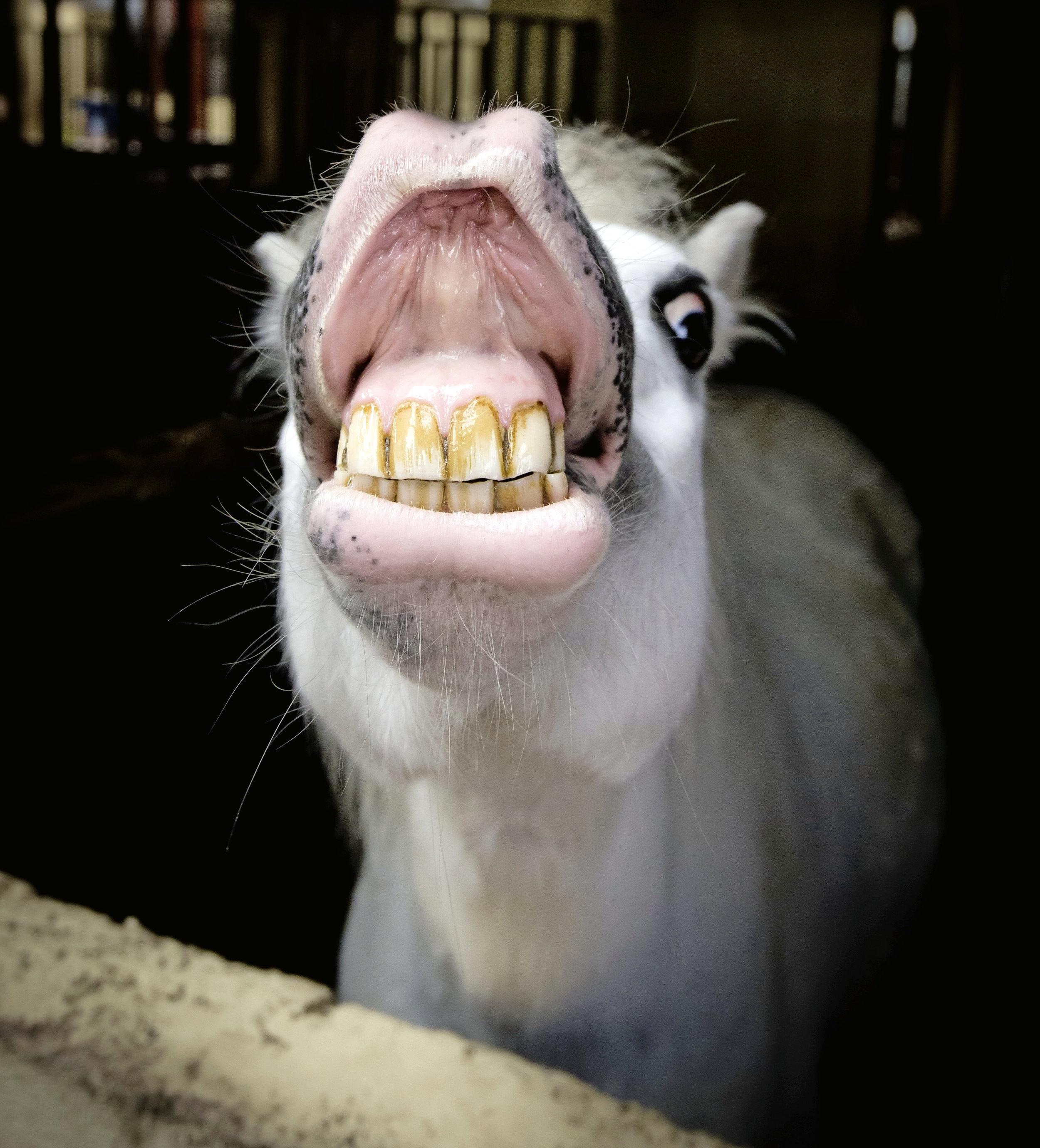 horse showing its teeth.jpg