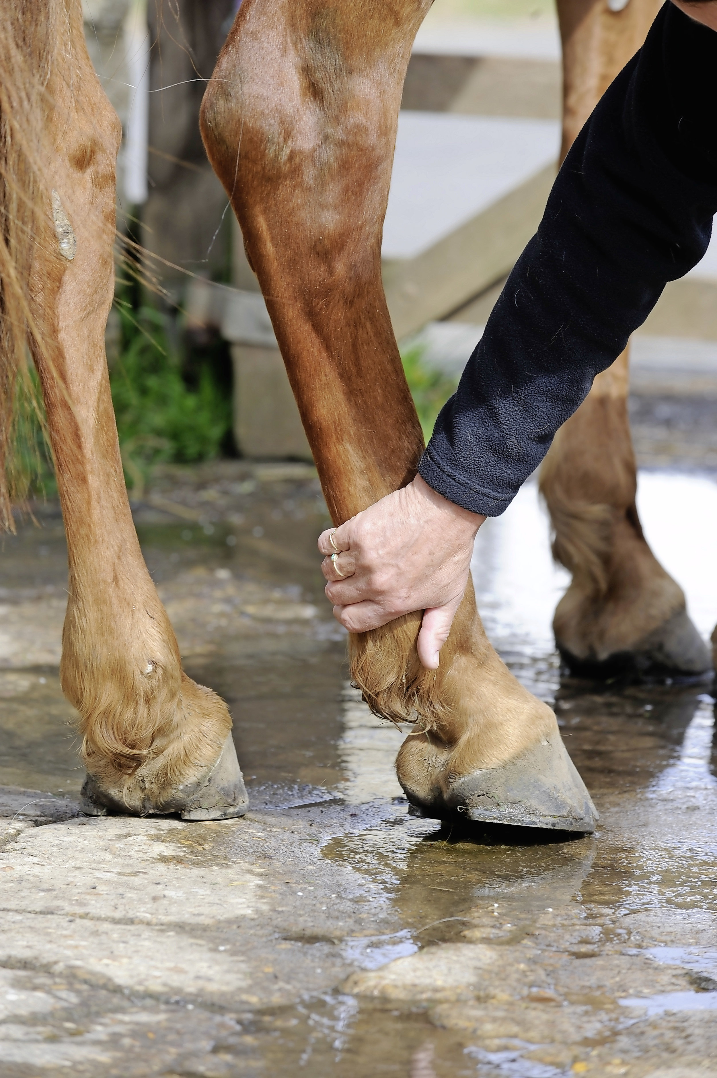 Shivers: the condition that makes your horse's hindlegs