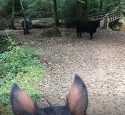 Gillian Kedzierski's horse doesn't mind cows