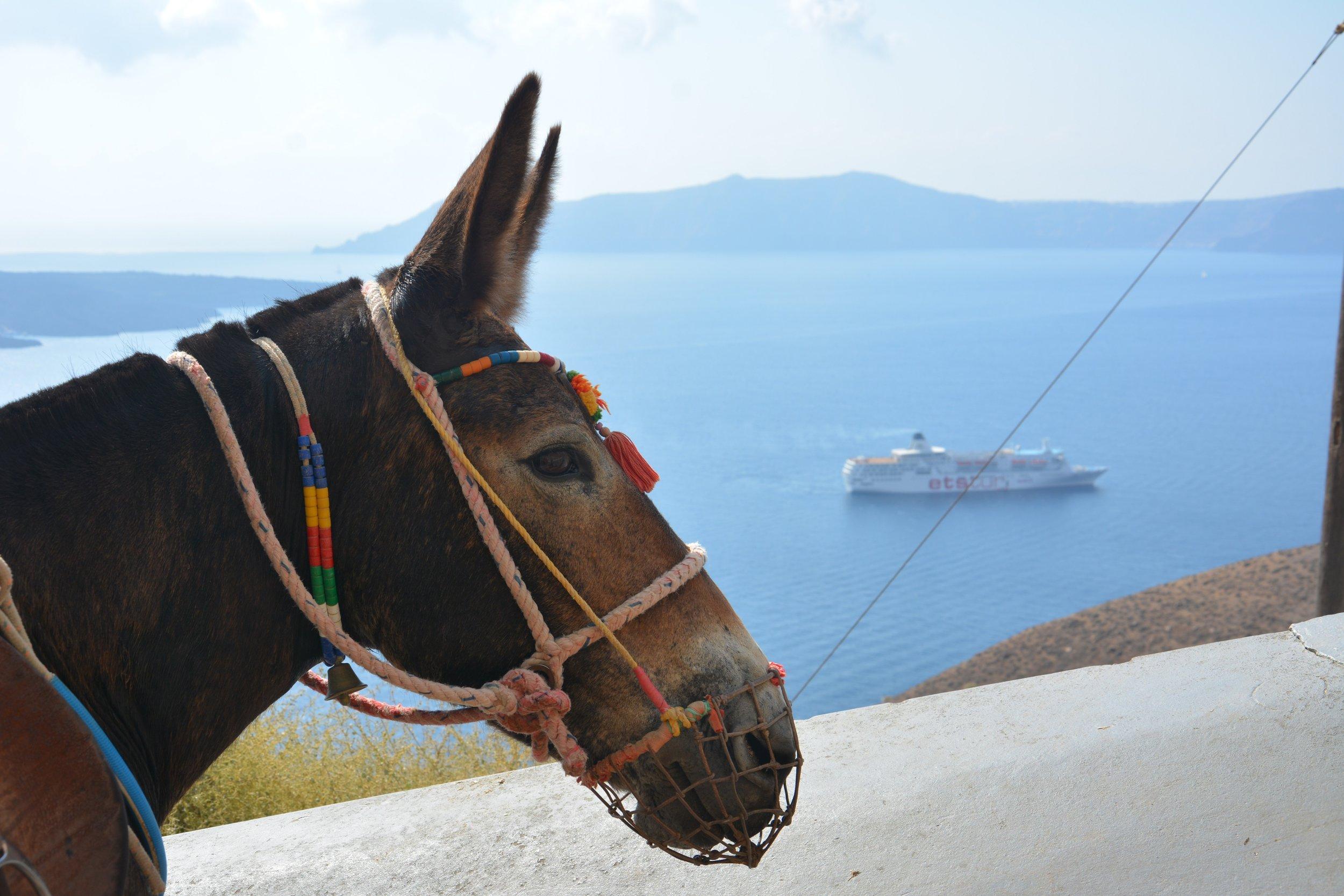 Santorini Donkey. Credit The Donkey Sanctuary.jpg