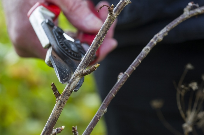 Once your fruit bushes have shed their leaves, you can set about taking hardwood cuttings of stems of the current year's growth. These cuttings are extremely simple and almost foolproof – they're pretty much guaranteed to root, although it can take a while, but that means you can forget about them. Come back to them next year, from about spring, and you'll hopefully have some well-rooted plants.  Currant, mulberry or gooseberry cuttings, for example, can be planted straight into the ground, in a little dedicated spot on your plot, or you can start them in pots to plant out. Transplant, plant out or repot your cuttings when they've made good progress, have firmly rooted and grown good foliage later into next year.  If you've planted our cuttings in the ground, check on them during frosty periods, when they may have loosened from their spots – just firm them back in to make sure they can withstand the weather. And do keep an eye on potted cuttings, too. They'll need lightly moist soil. Give it a go and you'll be impressed at how well you do.