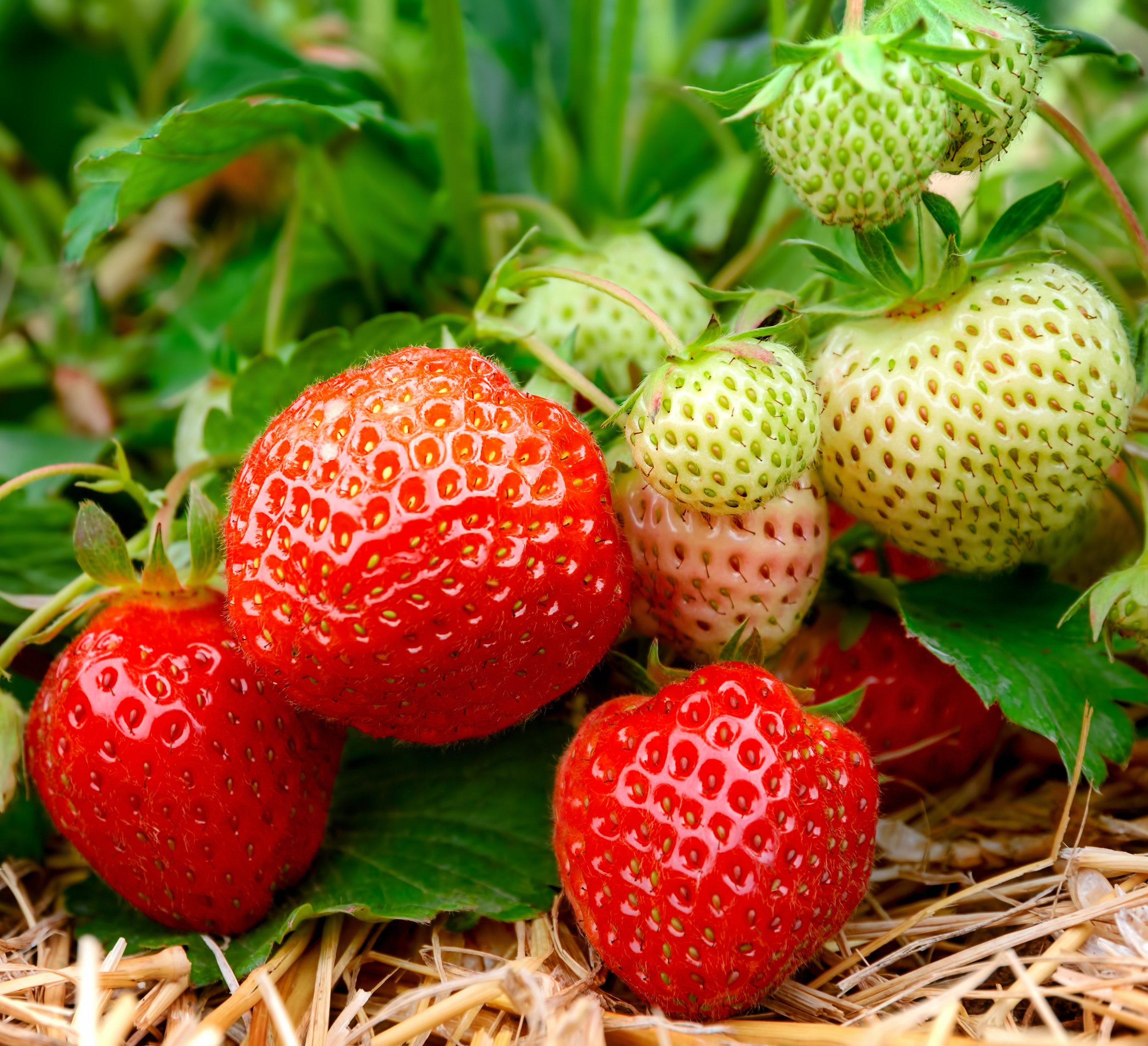 Strawberry Patch - shutterstock_185585858.jpg