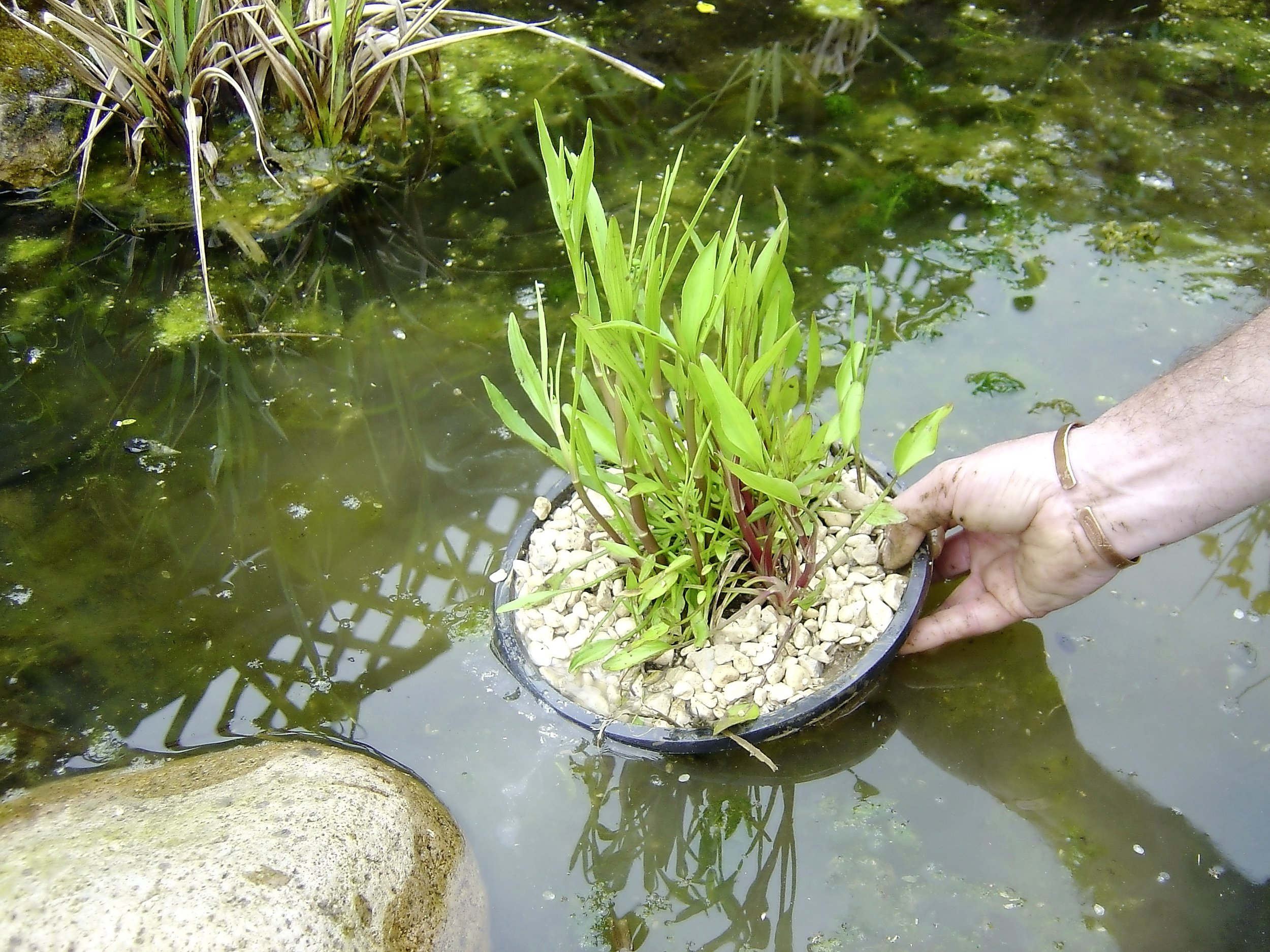 Pond plants step 4.jpg