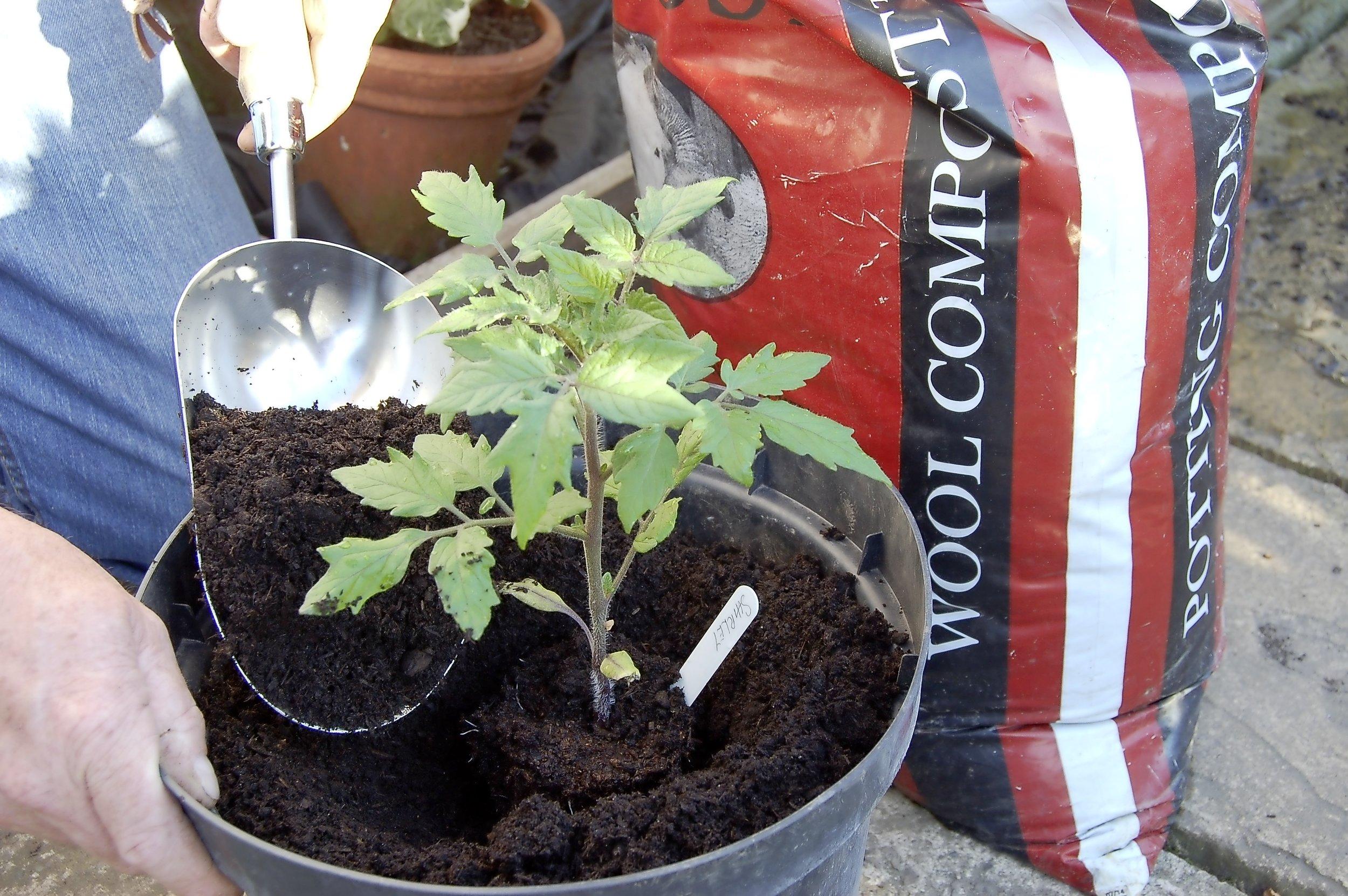 Tomatoes - step 1.jpg