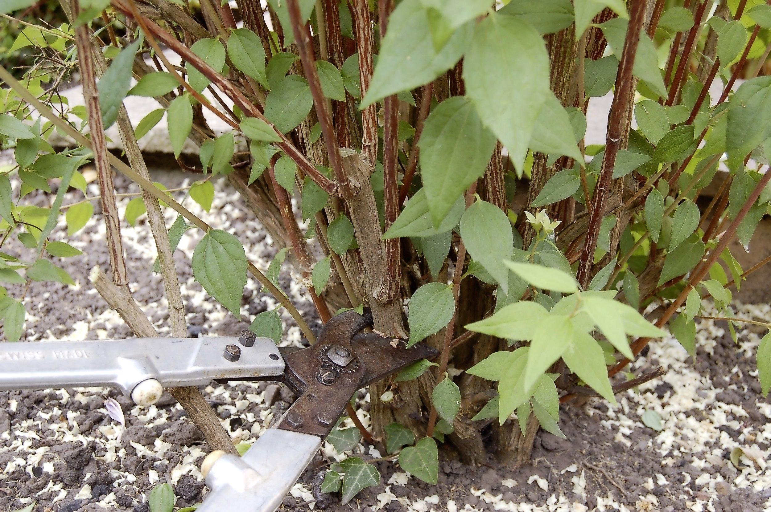 Summer shrub pruning - step 2.jpg