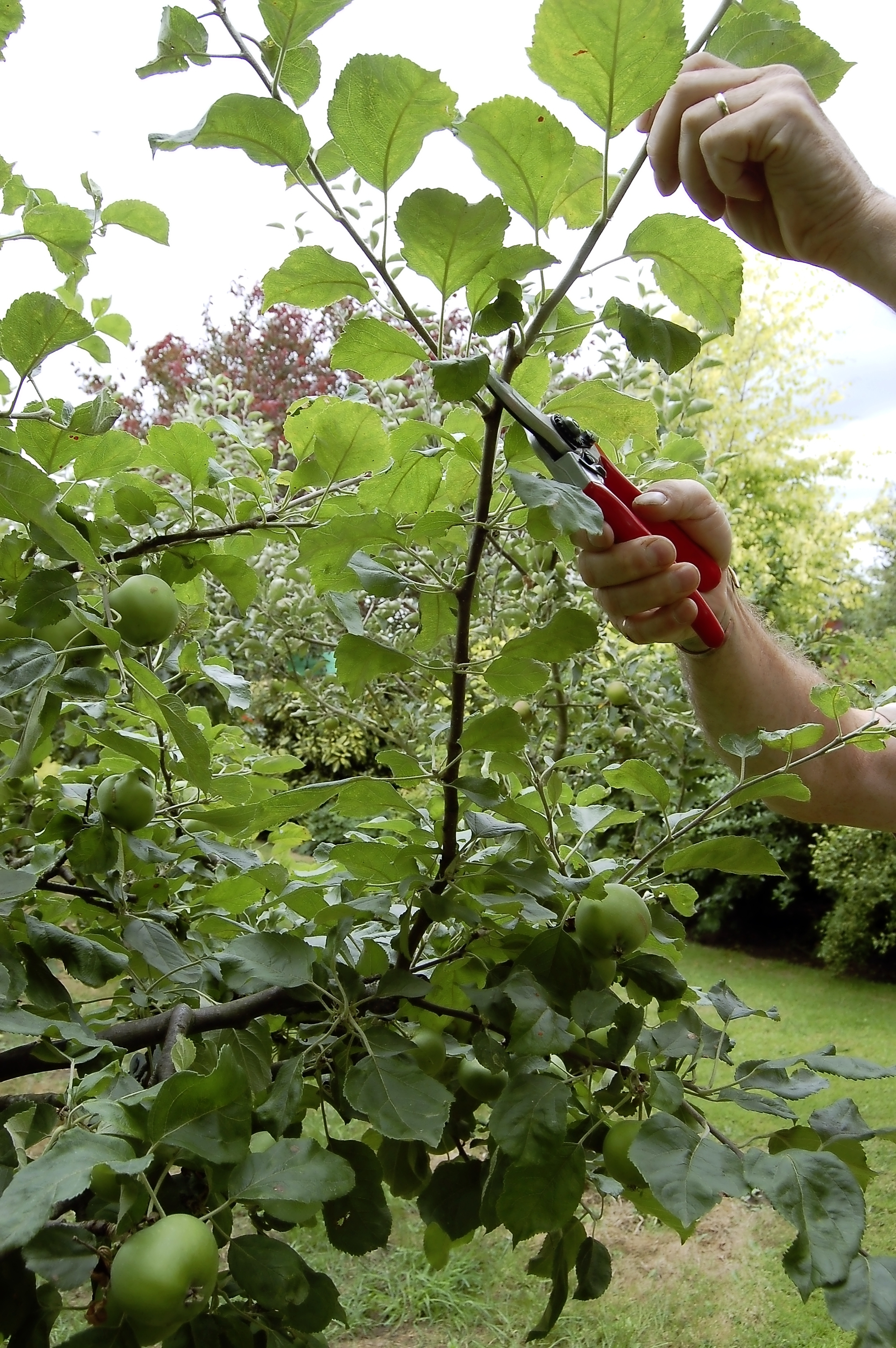 Summer prune apples step 3.jpg