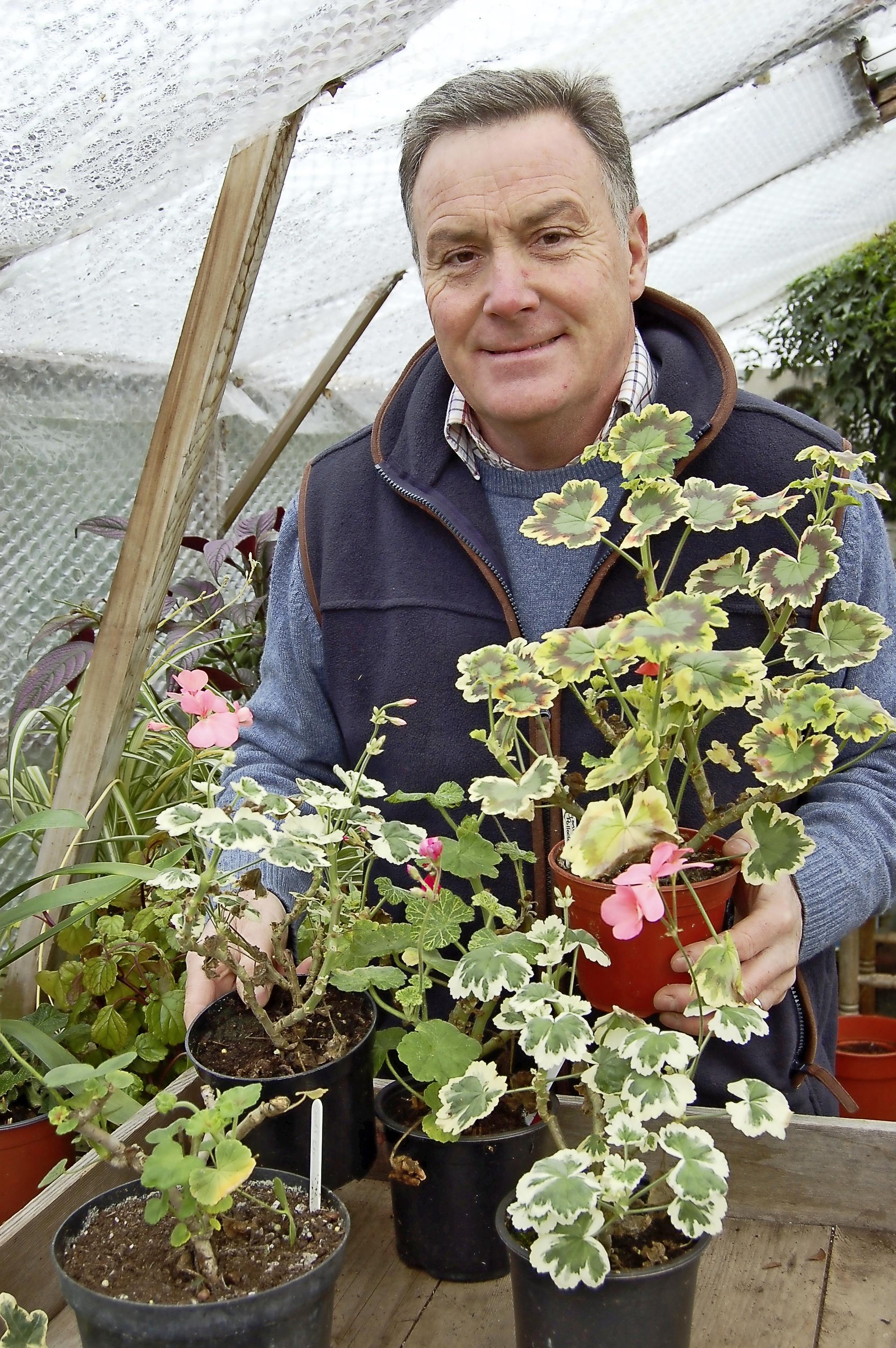 Pelargonium pruning - main pic.jpg