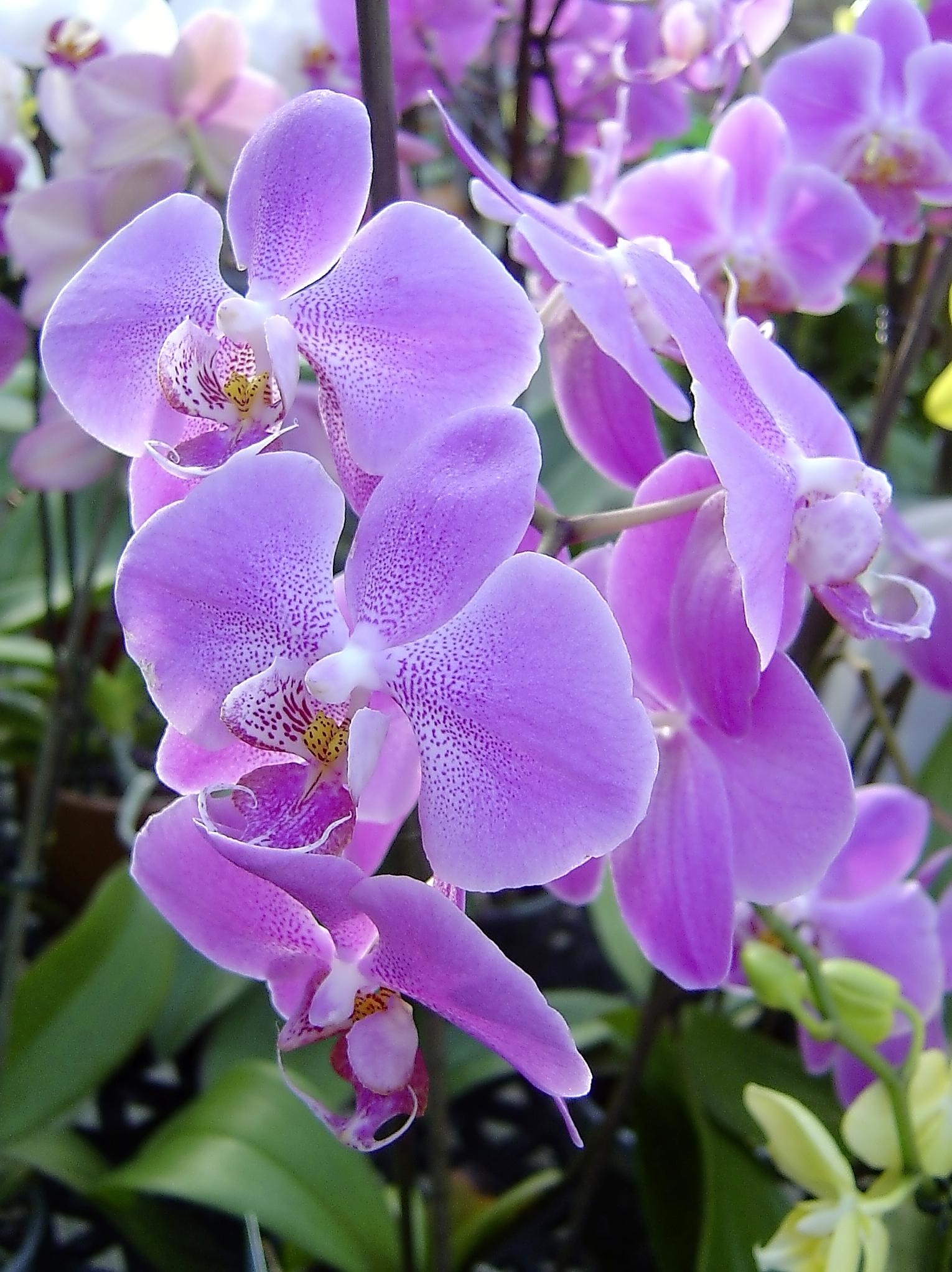 Phalaenopsis - moth orchid.jpg