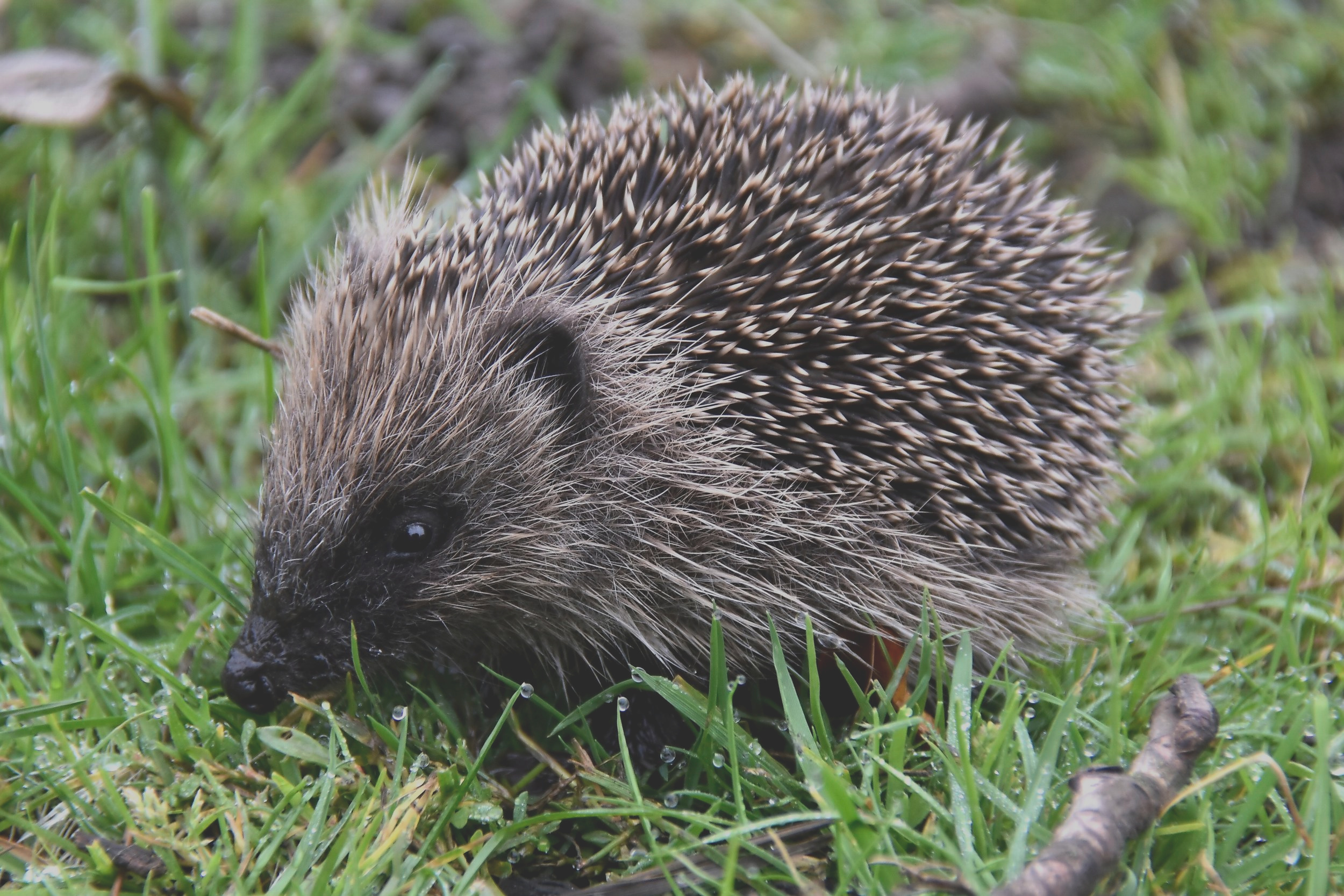 Leave food for hedgehogs