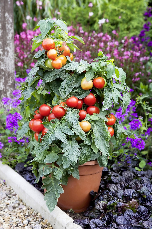 Tomato F1 Summerlast.jpg