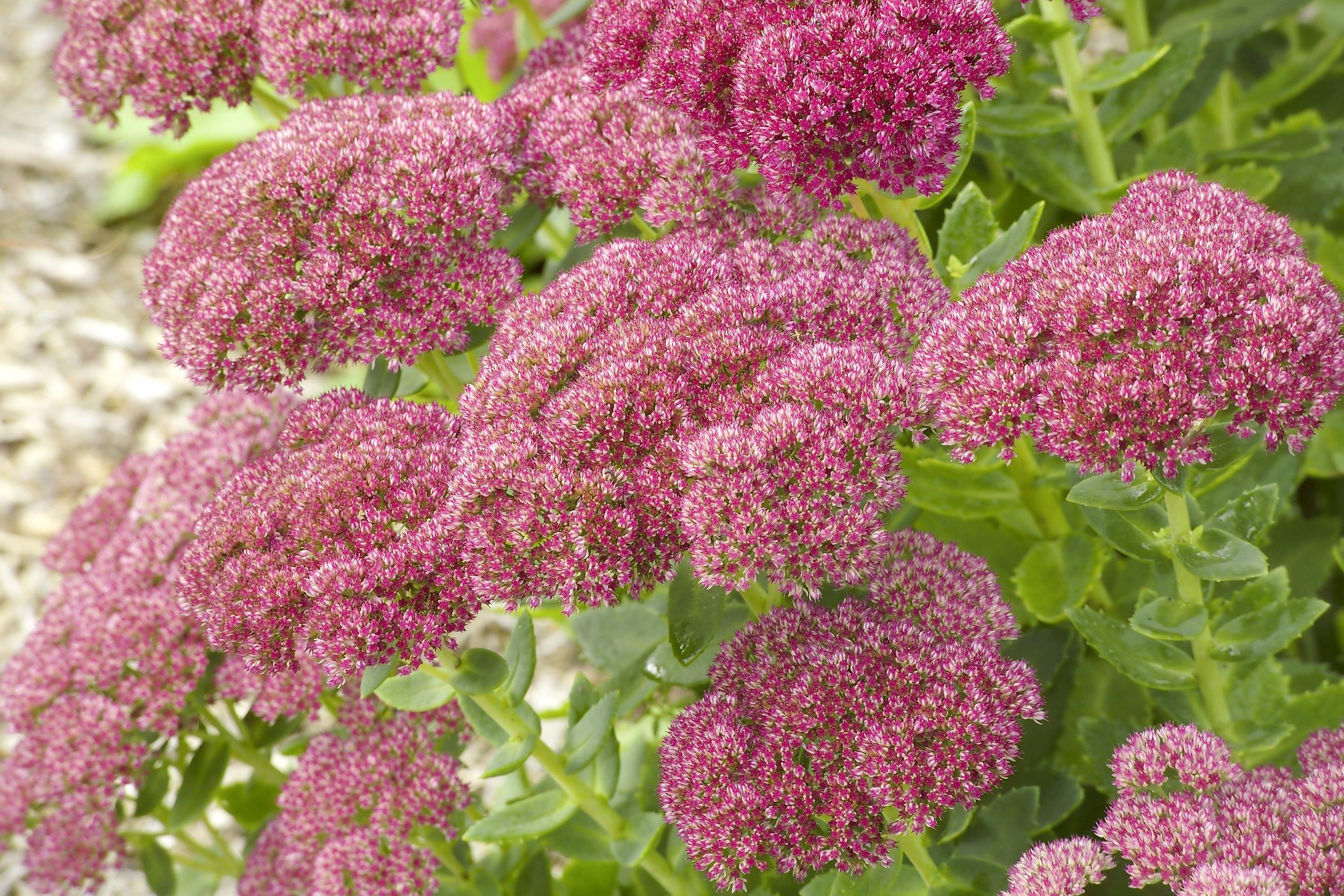 Hylotelephium 'Herbstfreude' (sedum 'Autumn Joy')