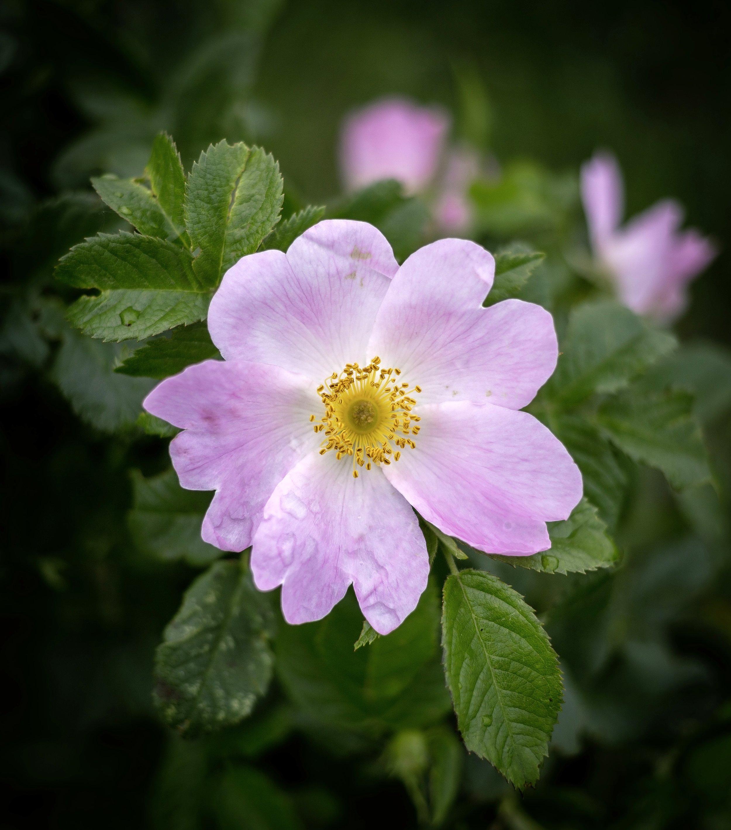 Plant a dog rose